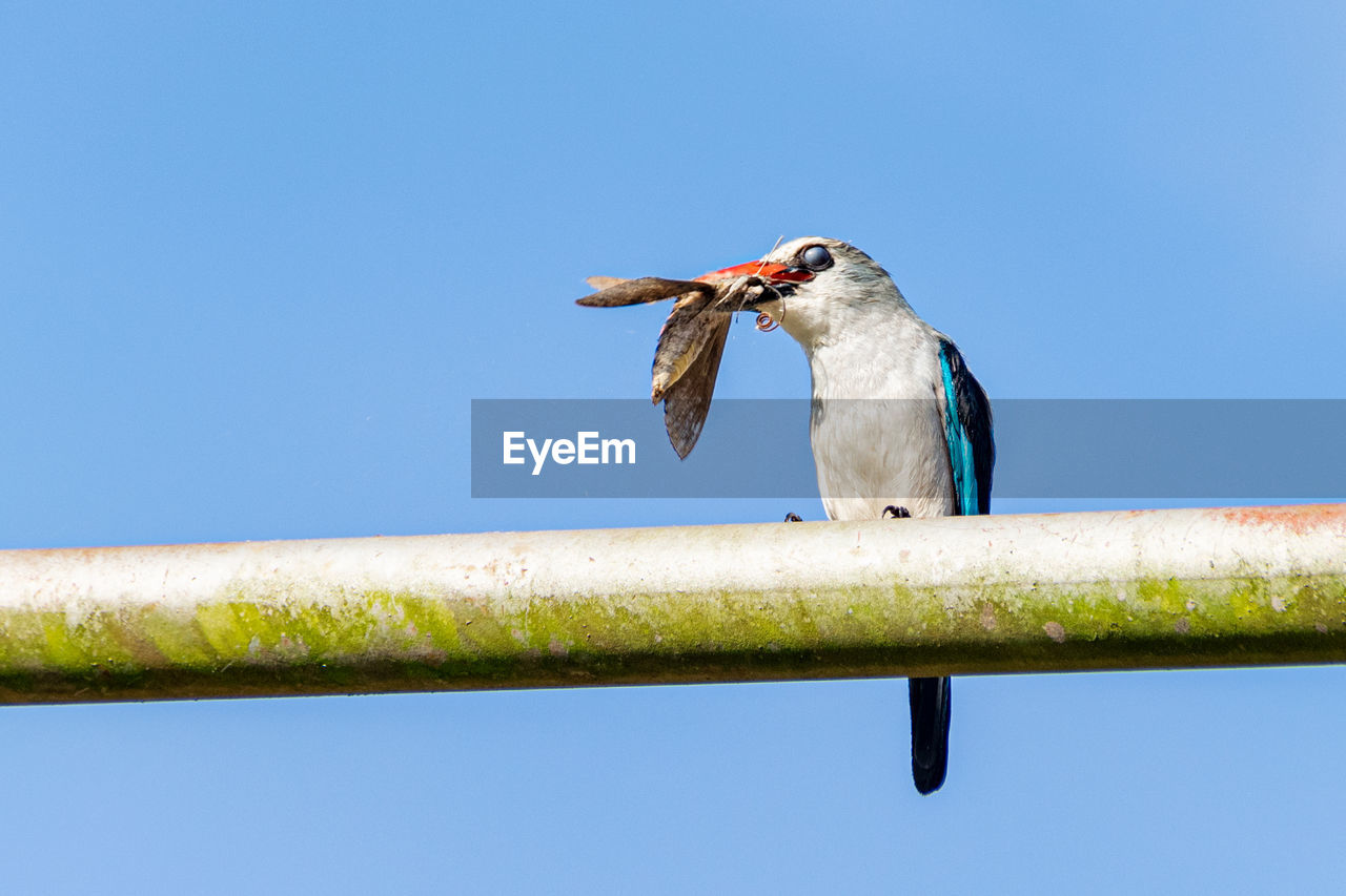 Woodland kingfisher with nictitating membrane covering the eye, with tiger moth prey in uganda