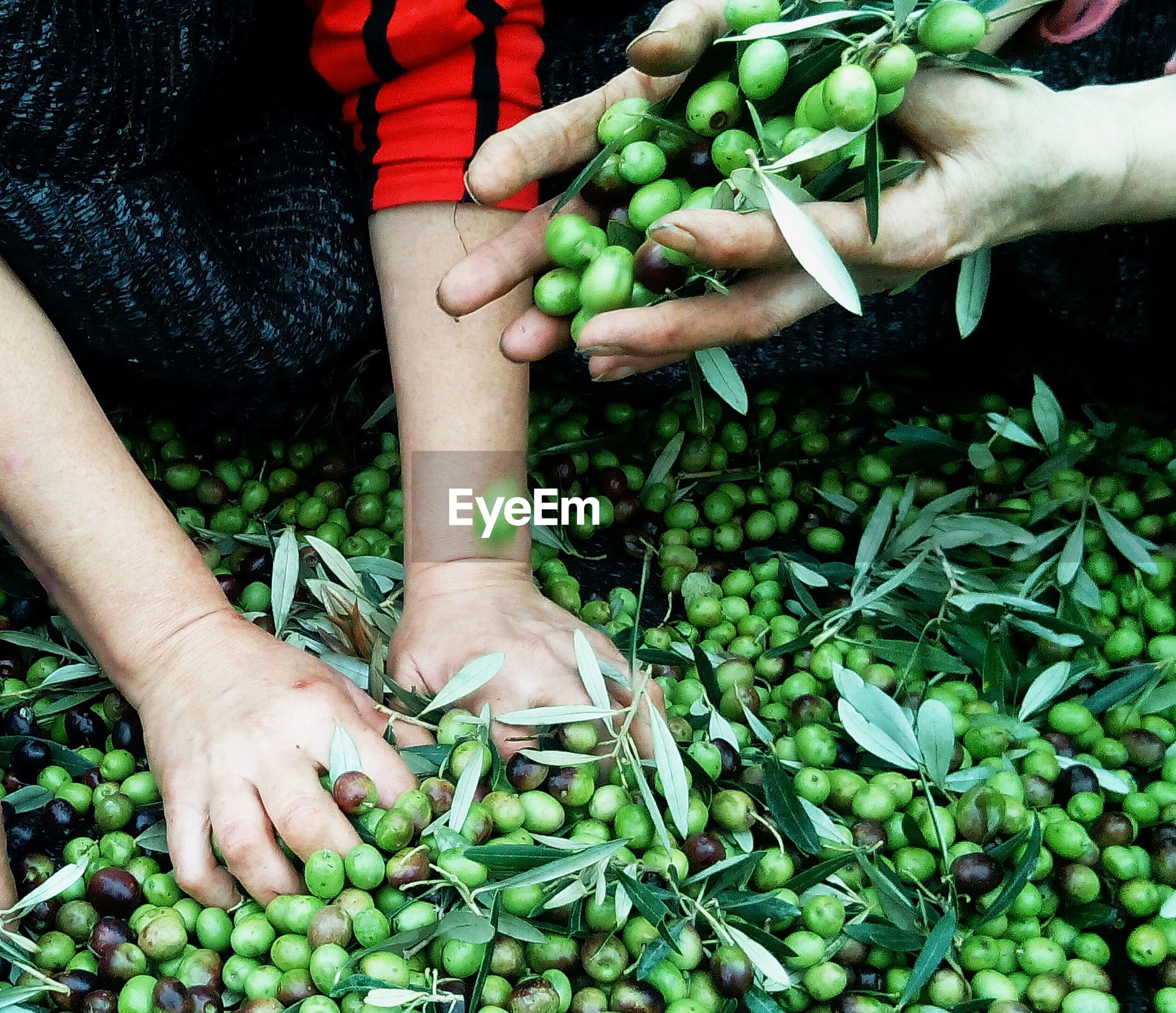 Cropped image of people hands holding green olives