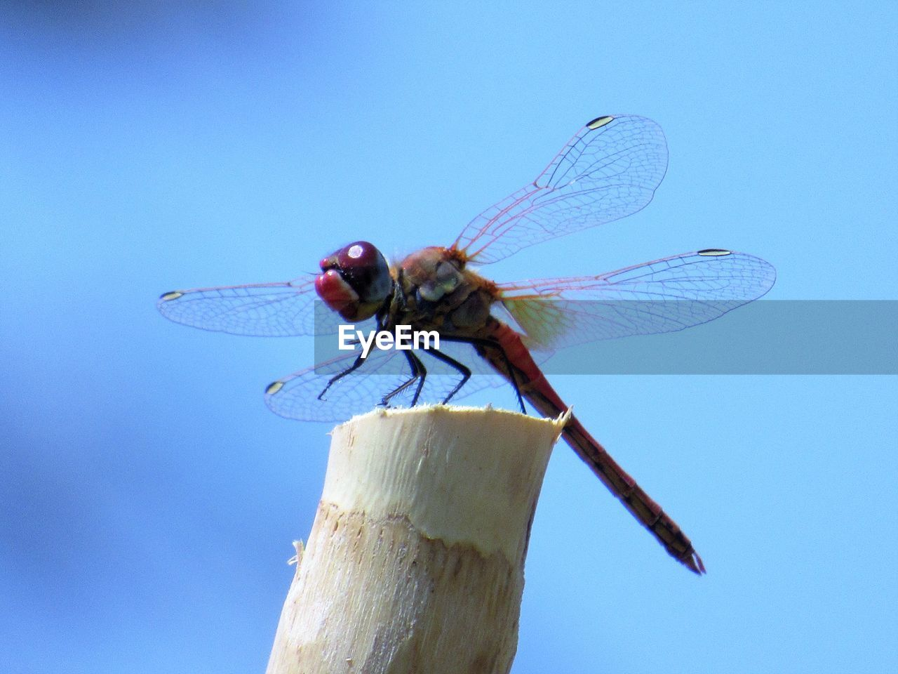 invertebrate, insect, animal wing, animal wildlife, animal themes, animal, animals in the wild, one animal, blue, dragonfly, nature, close-up, sky, no people, day, outdoors, plant, focus on foreground, clear sky, sunlight, blue background
