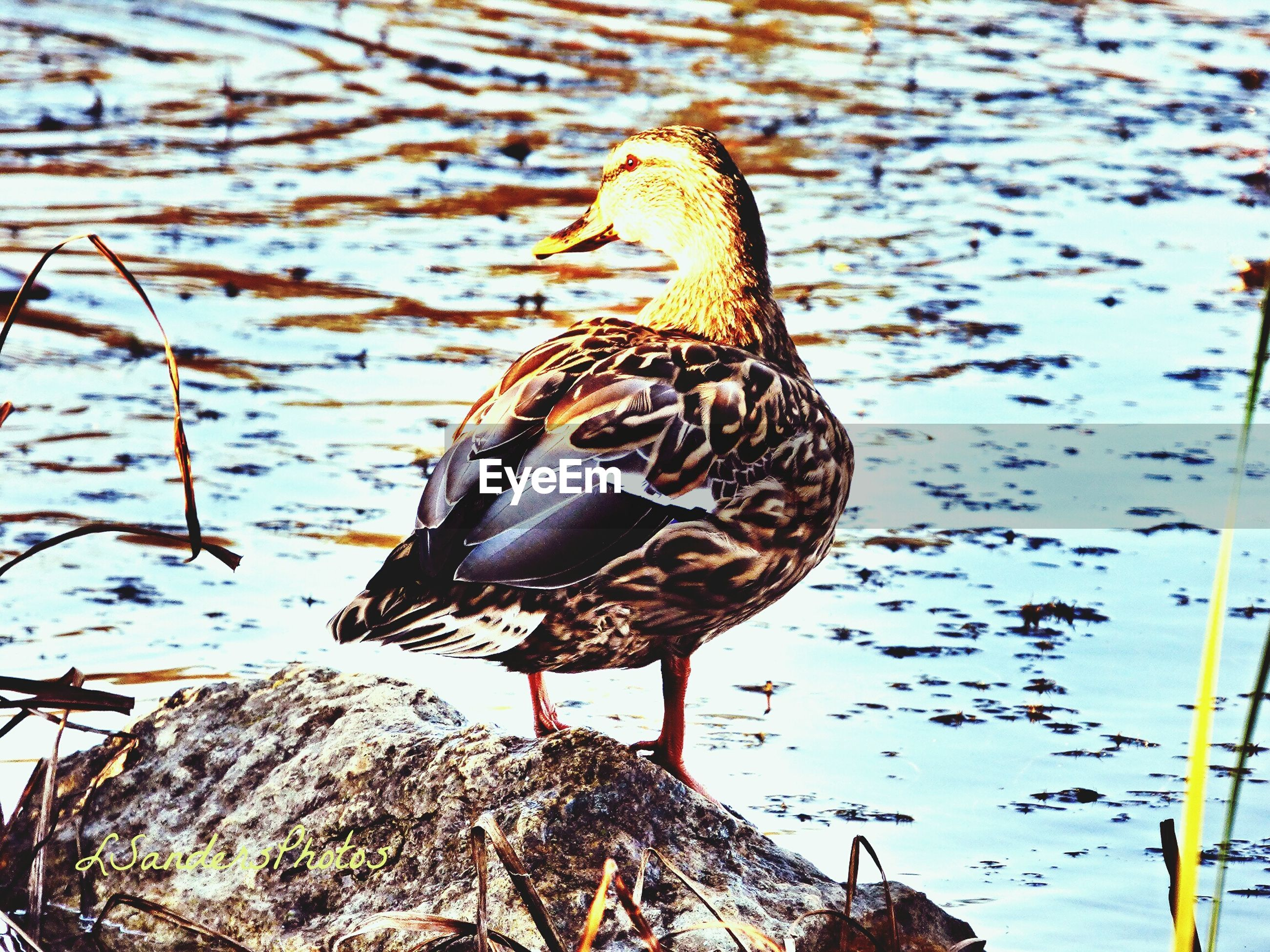 animals in the wild, animal themes, wildlife, one animal, bird, water, perching, nature, outdoors, day, high angle view, lake, focus on foreground, close-up, no people, full length, zoology, beauty in nature, animal wing, insect