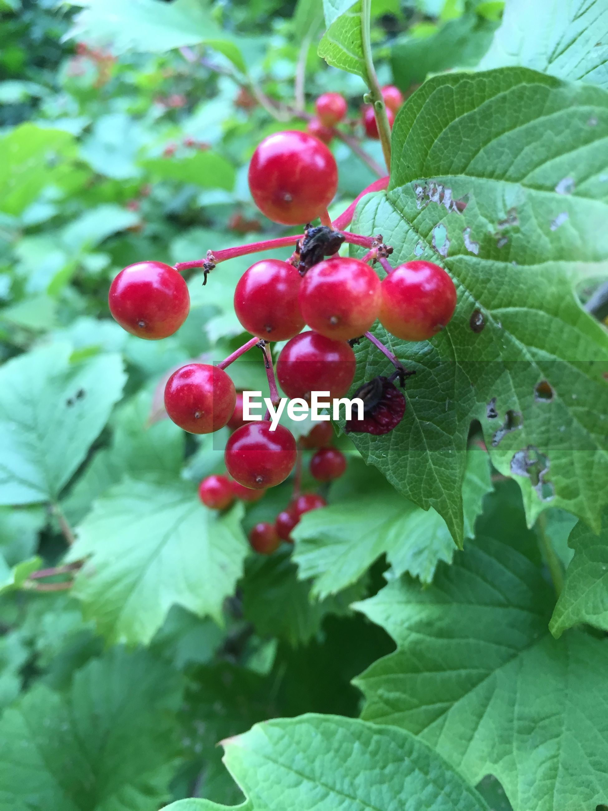 Close-up of red guelder rose berries growing outdoors