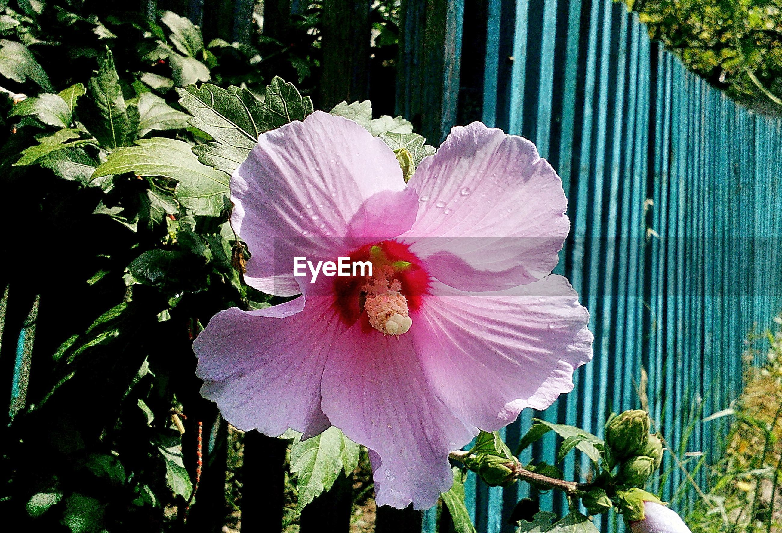 Close-up of pink hibiscus blooming in field