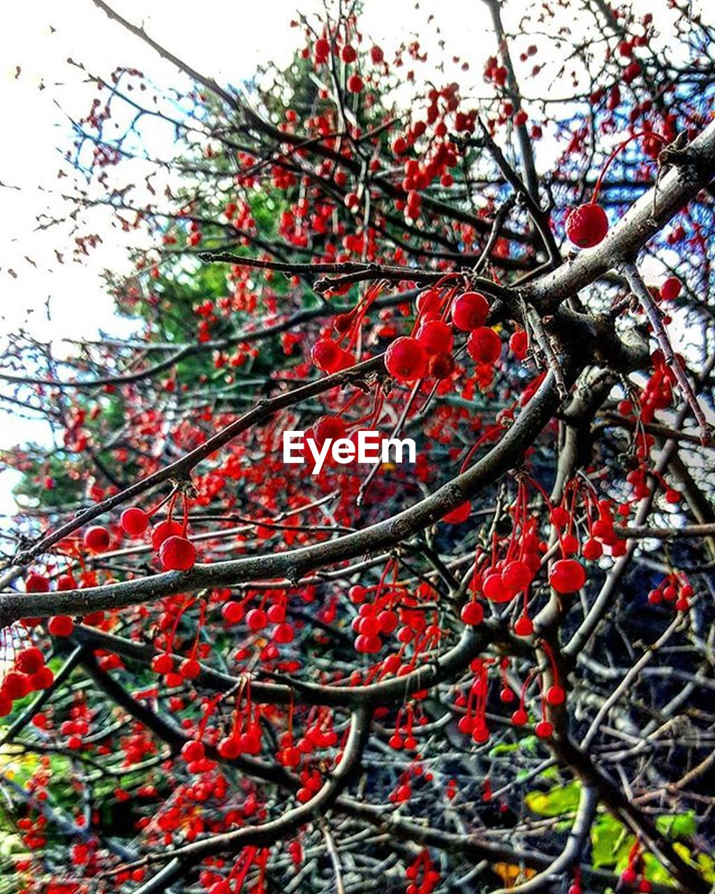 red, tree, fruit, growth, nature, branch, rowanberry, beauty in nature, outdoors, growing, food and drink, day, no people, low angle view, focus on foreground, food, close-up, freshness