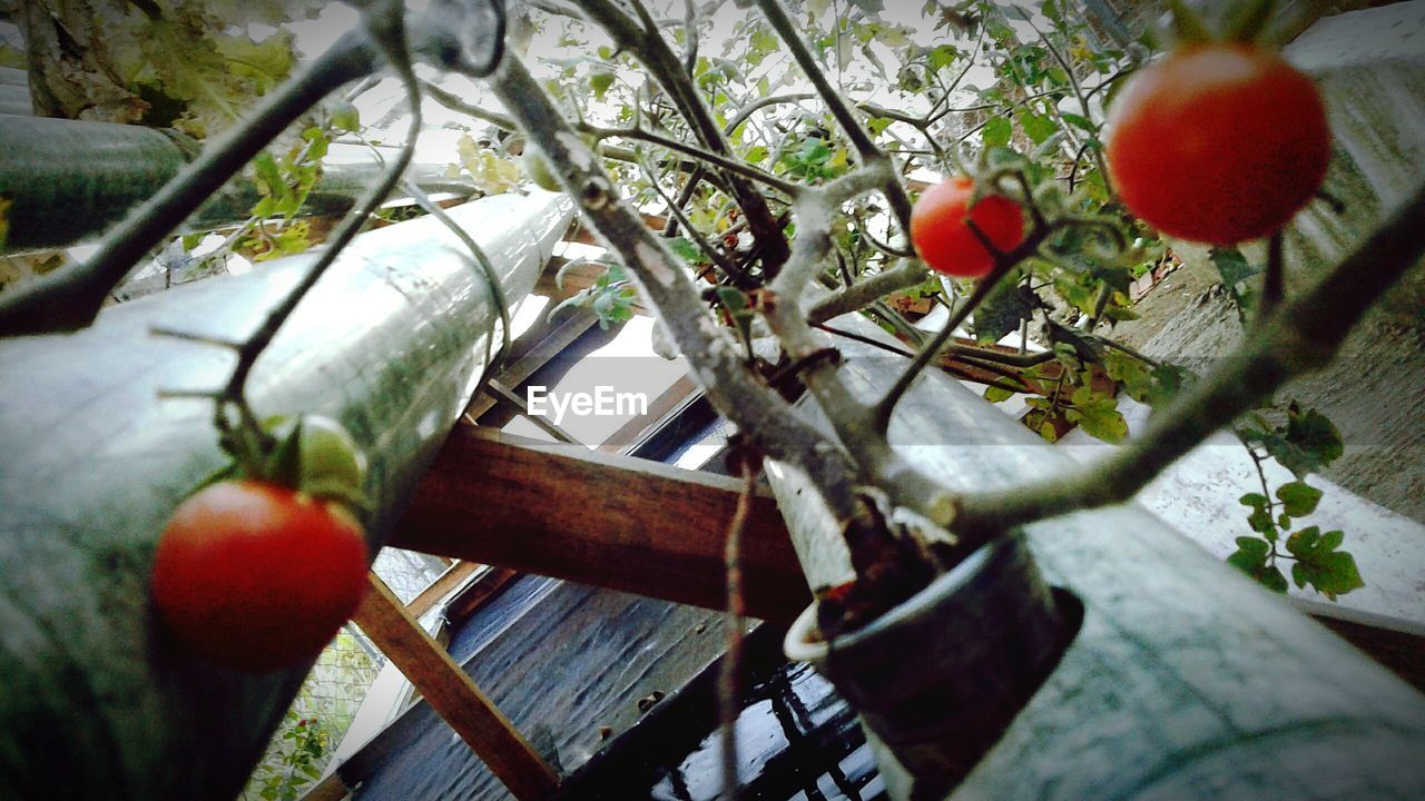 fruit, food and drink, tree, food, tomato, day, healthy eating, no people, growth, branch, apple - fruit, outdoors, freshness, red, nature, close-up