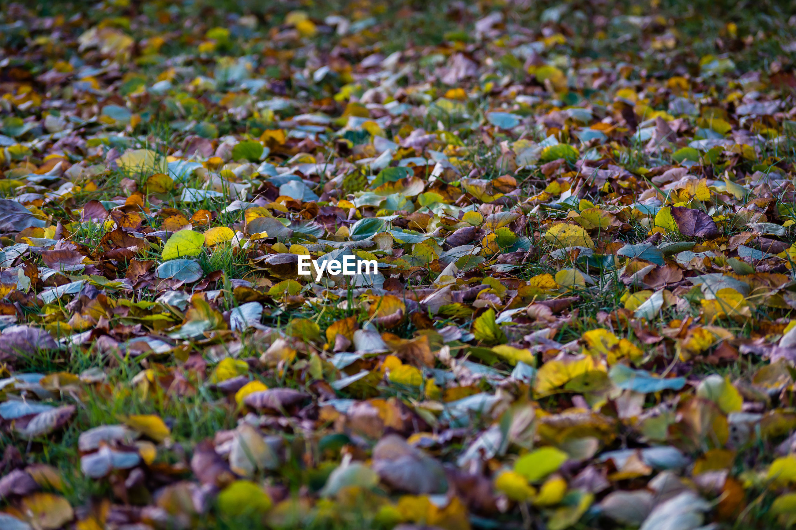 CLOSE-UP OF AUTUMN LEAVES FALLEN ON YELLOW FLOWERS