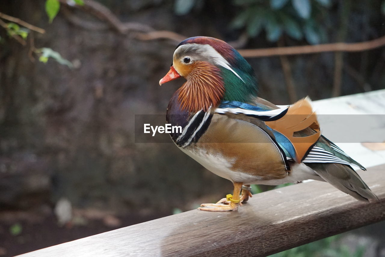 bird, one animal, animal themes, animals in the wild, perching, focus on foreground, mandarin duck, animal wildlife, day, no people, duck, nature, outdoors, close-up, beak, retaining wall, beauty in nature