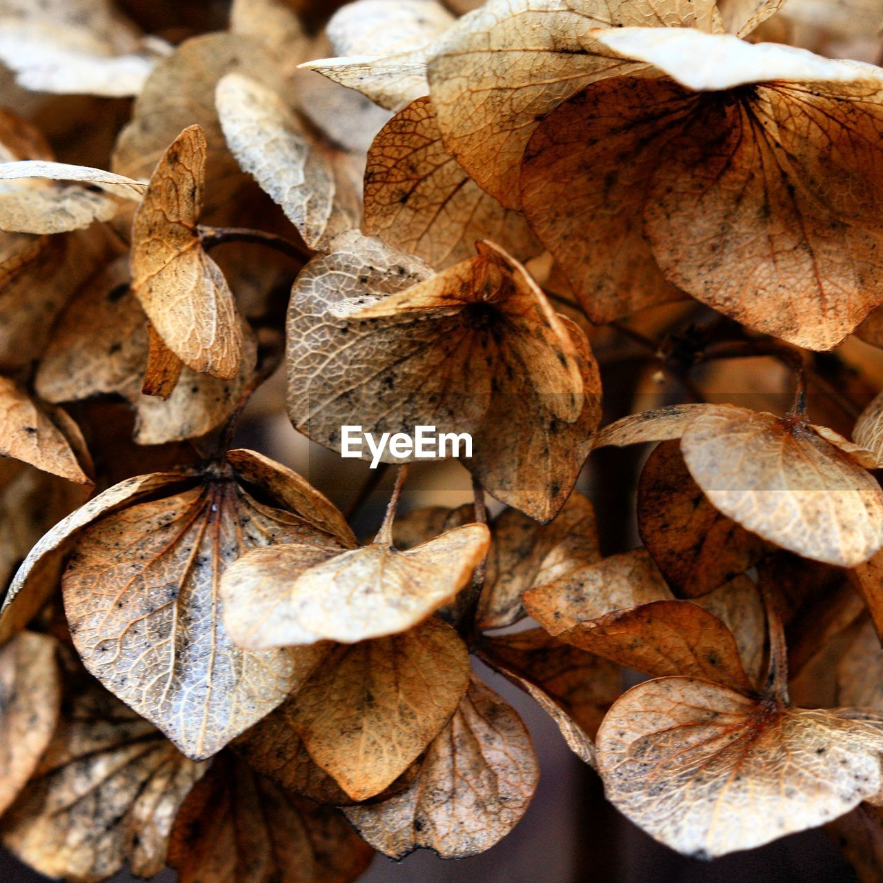 Close-up of dry hydrangeas