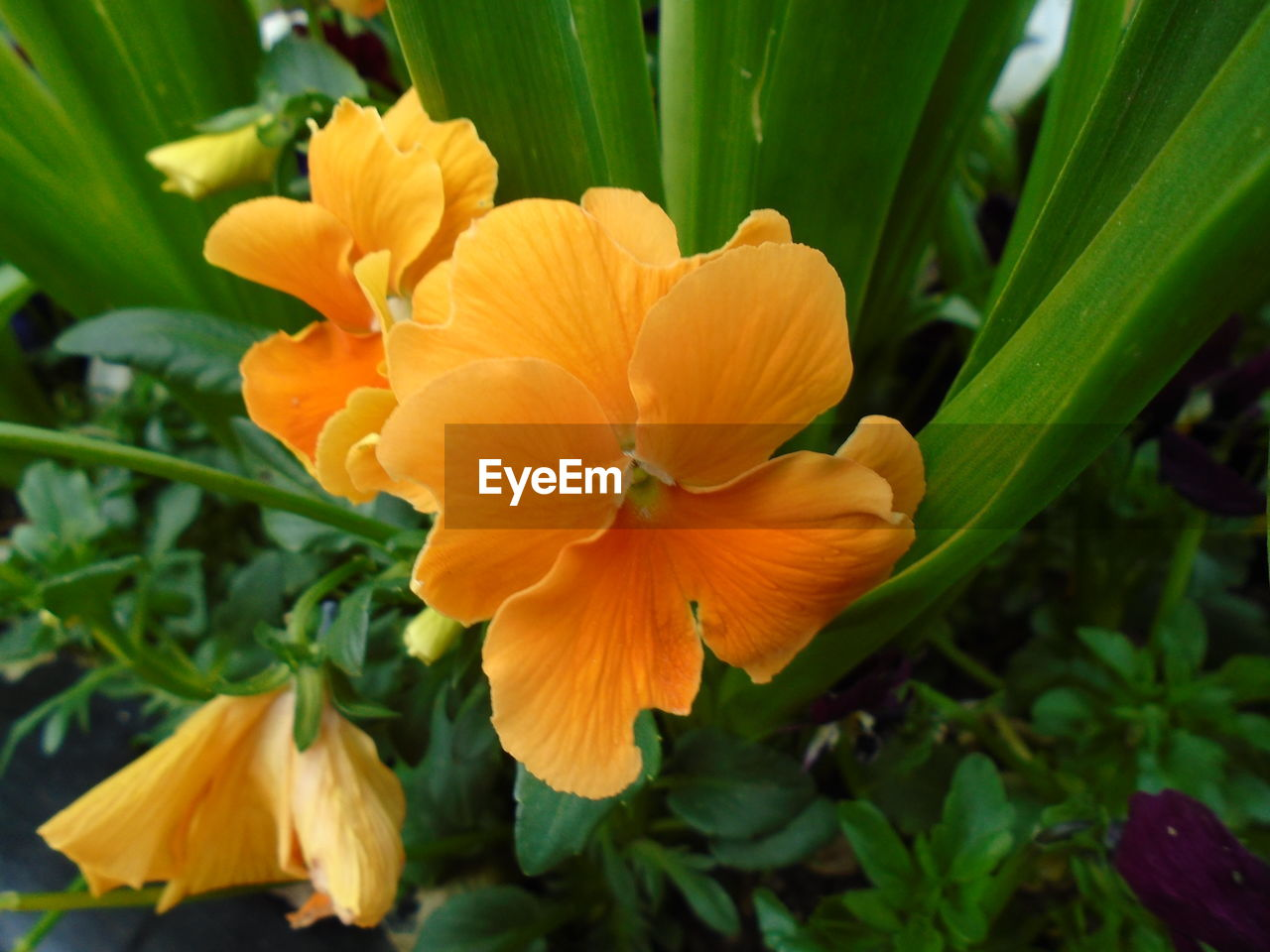 flower, petal, growth, beauty in nature, nature, fragility, flower head, freshness, plant, blooming, yellow, outdoors, no people, green color, focus on foreground, day, close-up, day lily