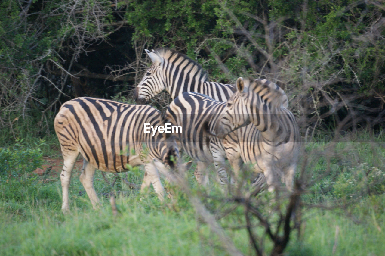 zebra, animals in the wild, striped, animal wildlife, animal themes, mammal, grass, nature, outdoors, no people, day, foal, standing, safari animals, tree, full length, wilderness area