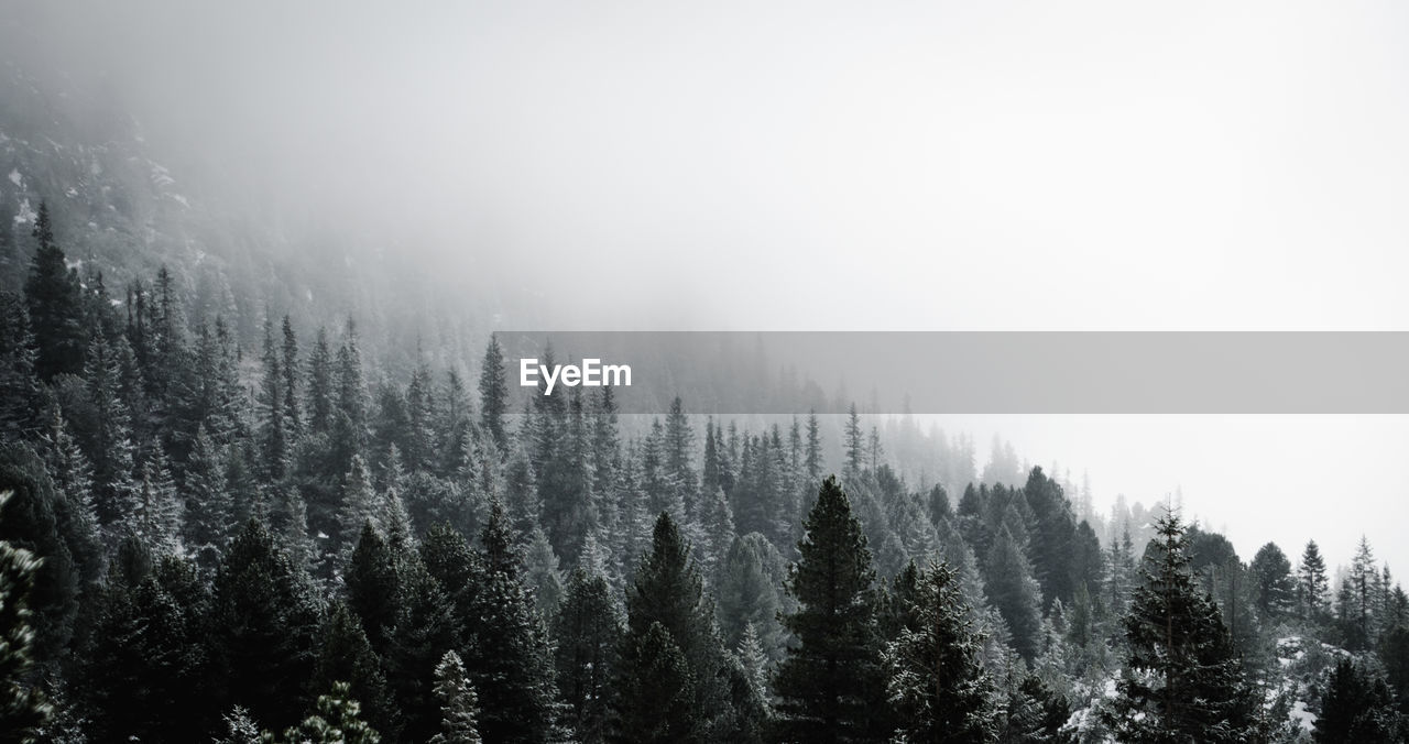 Trees at forest during foggy weather