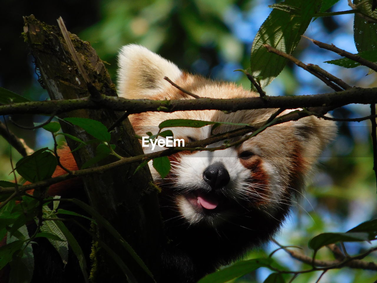 plant, animal themes, tree, mammal, animal, leaf, one animal, plant part, vertebrate, animal wildlife, nature, branch, focus on foreground, animals in the wild, no people, day, red panda, outdoors, growth, low angle view, whisker