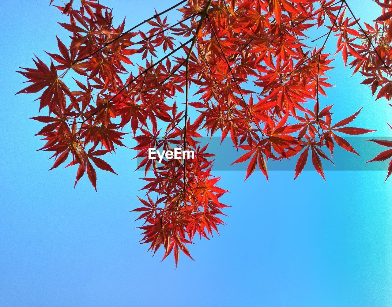 red, low angle view, day, clear sky, no people, leaf, autumn, blue, beauty in nature, nature, outdoors, close-up