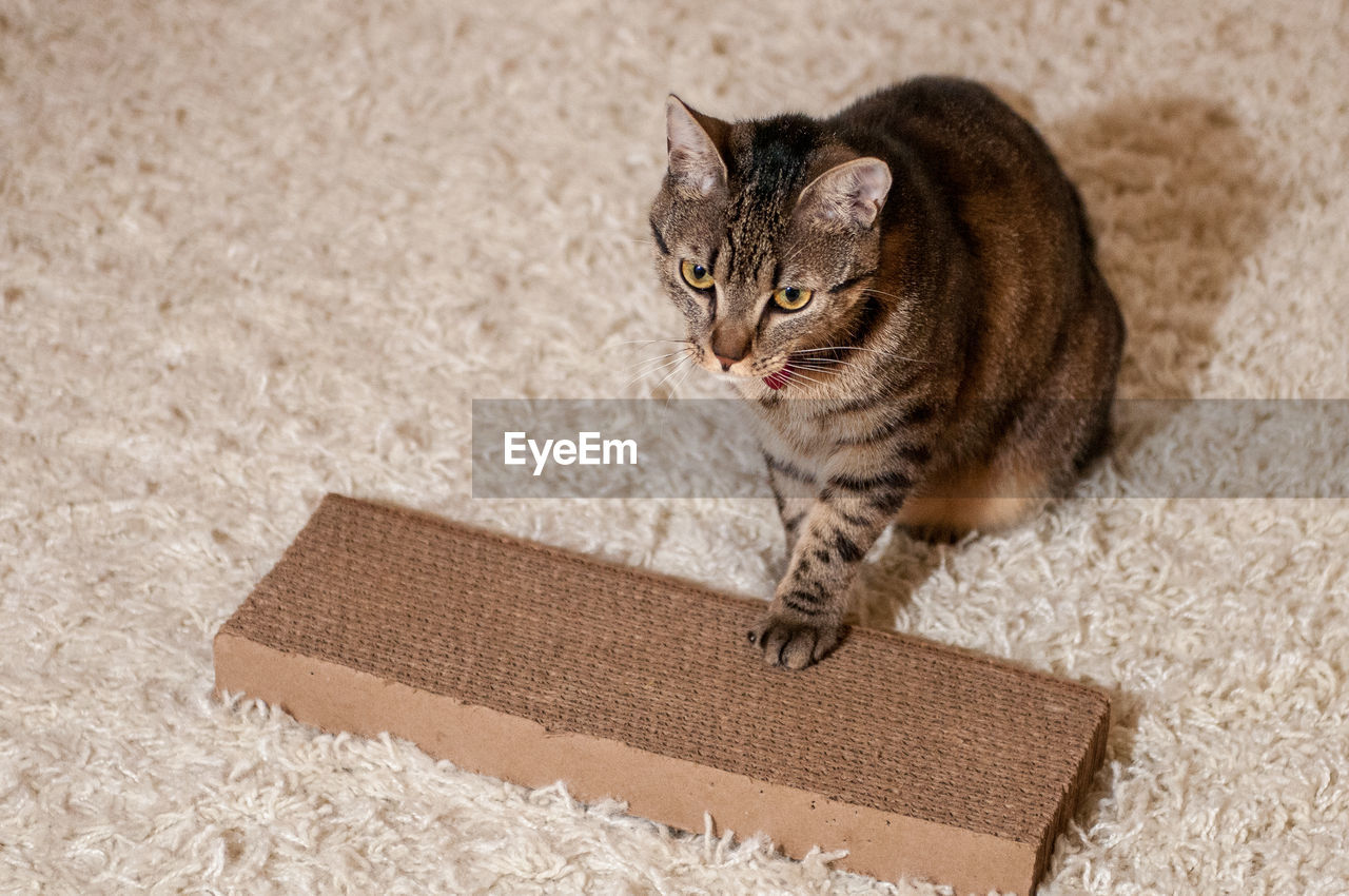 Cat on rug at home
