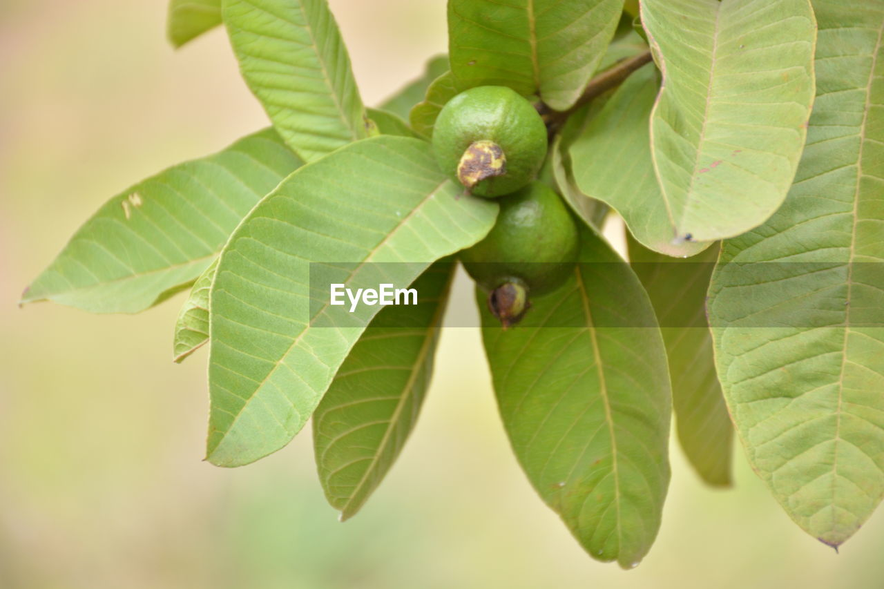 leaf, plant part, green color, plant, close-up, growth, nature, no people, beauty in nature, day, freshness, focus on foreground, outdoors, tree, food and drink, fruit, high angle view, food, animal, animal wildlife, leaves