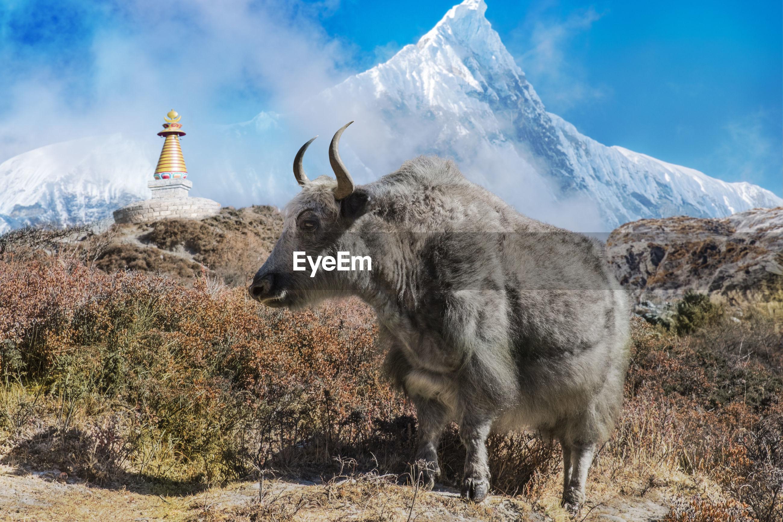 Yak on grass against sky