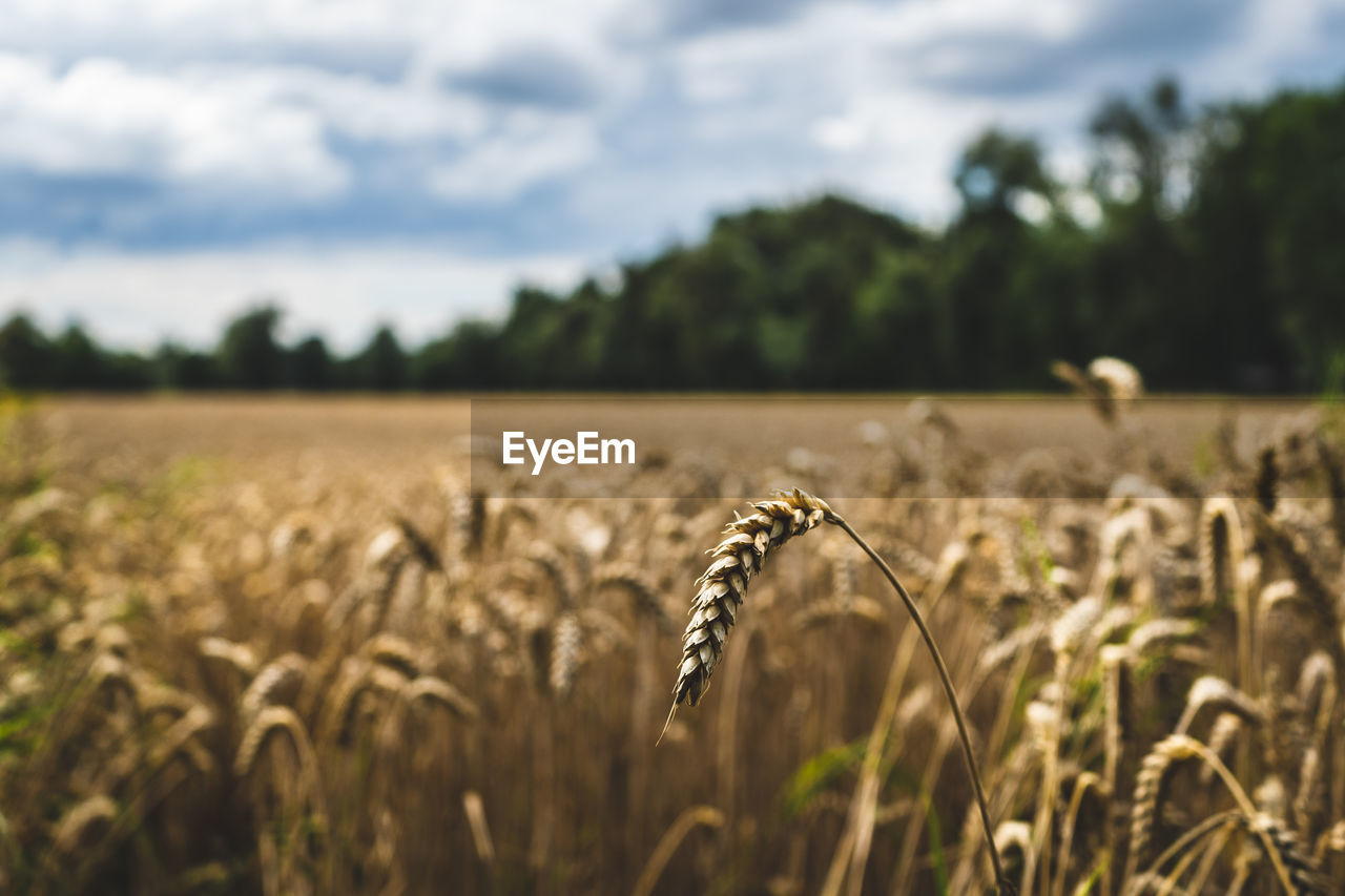 High angle view of wheat field against sky