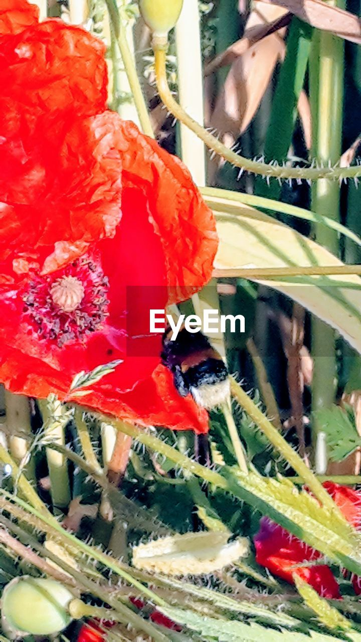 red, plant, close-up, animals in the wild, insect, growth, invertebrate, animal wildlife, flower, beauty in nature, flowering plant, nature, no people, animal themes, animal, fragility, vulnerability, one animal, day, freshness, outdoors, flower head, pollination