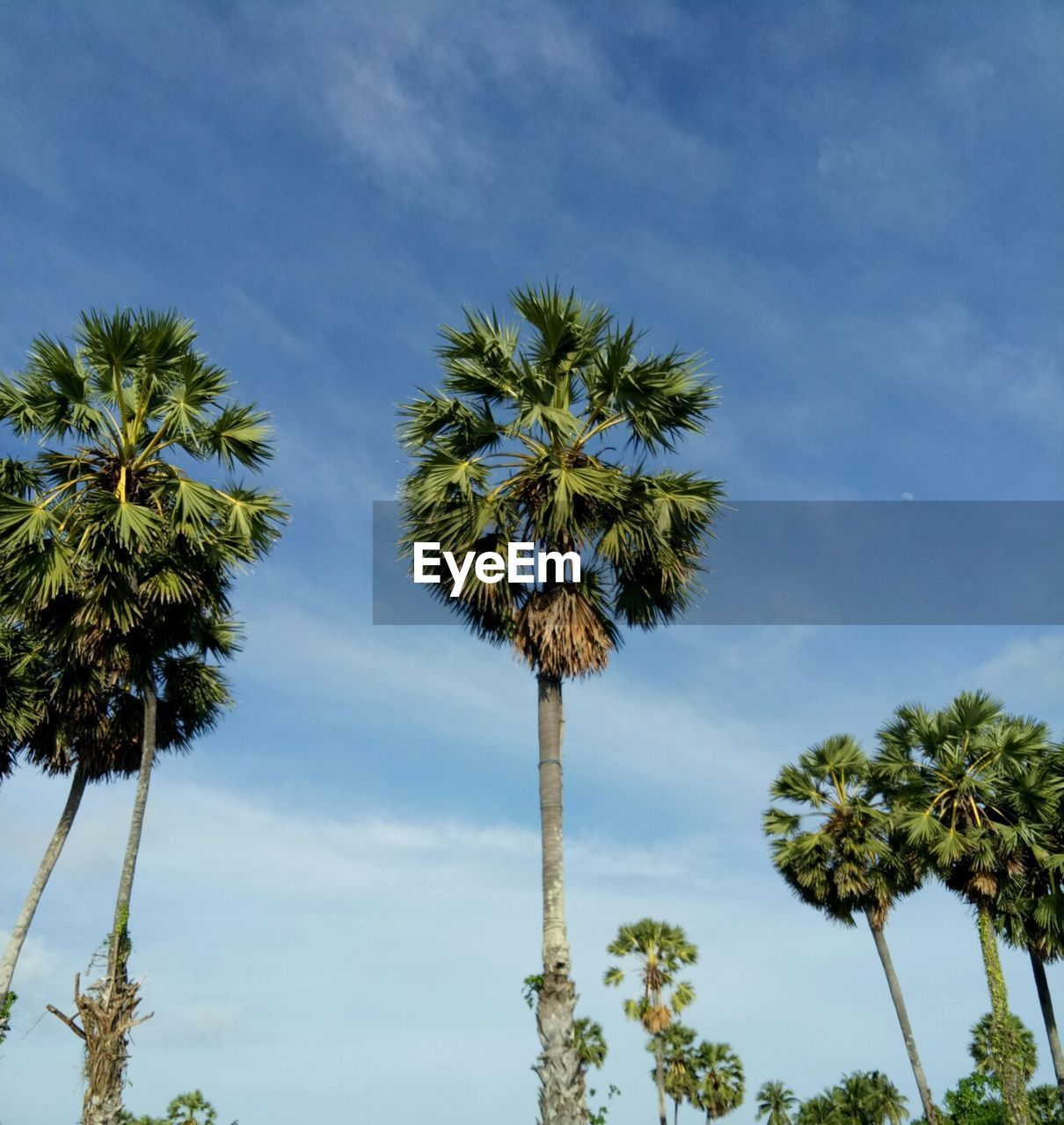 palm tree, plant, sky, tropical climate, tree, growth, low angle view, cloud - sky, nature, trunk, tree trunk, beauty in nature, tranquility, no people, tall - high, coconut palm tree, day, tranquil scene, tropical tree, outdoors, palm leaf, treetop