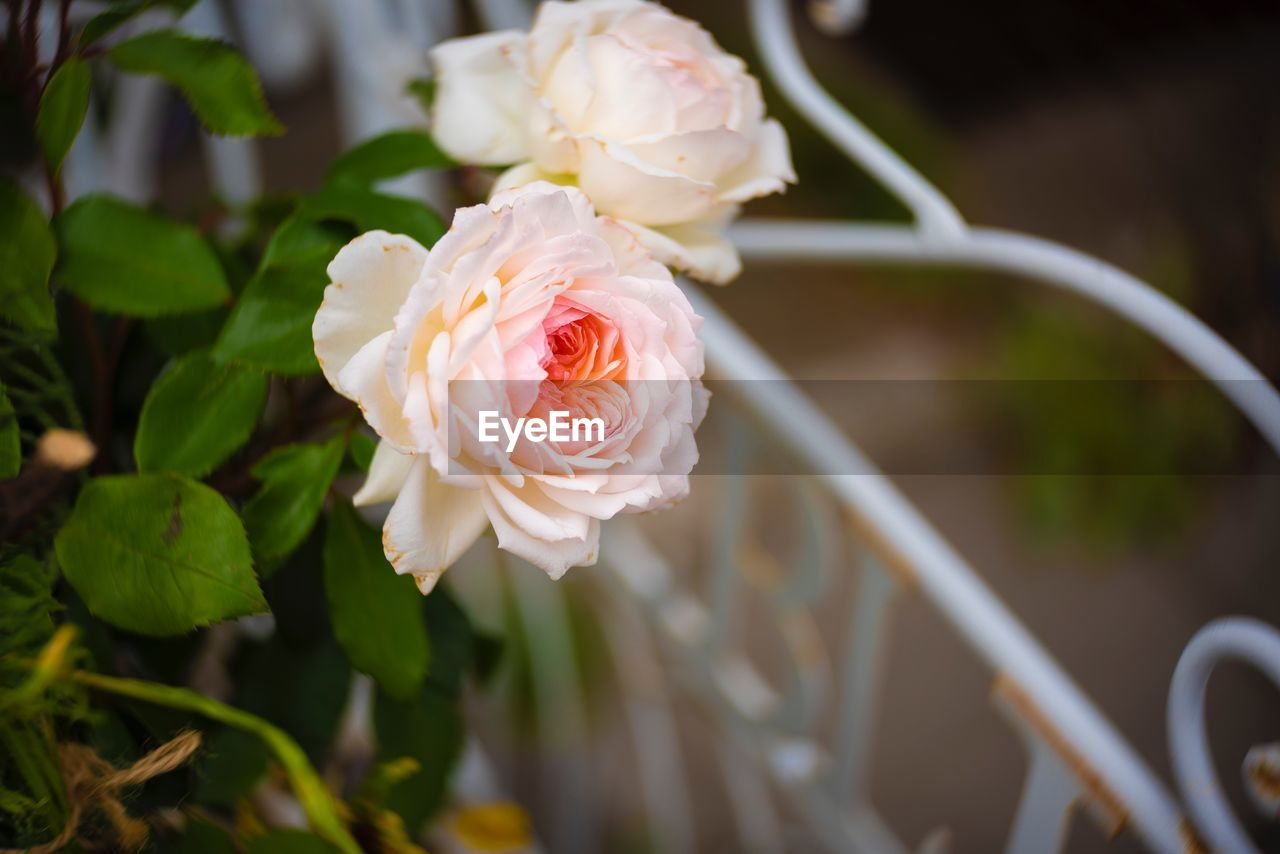 flower, beauty in nature, flowering plant, plant, petal, vulnerability, fragility, rose, freshness, flower head, inflorescence, close-up, rose - flower, nature, focus on foreground, growth, white color, pink color, no people, day, outdoors