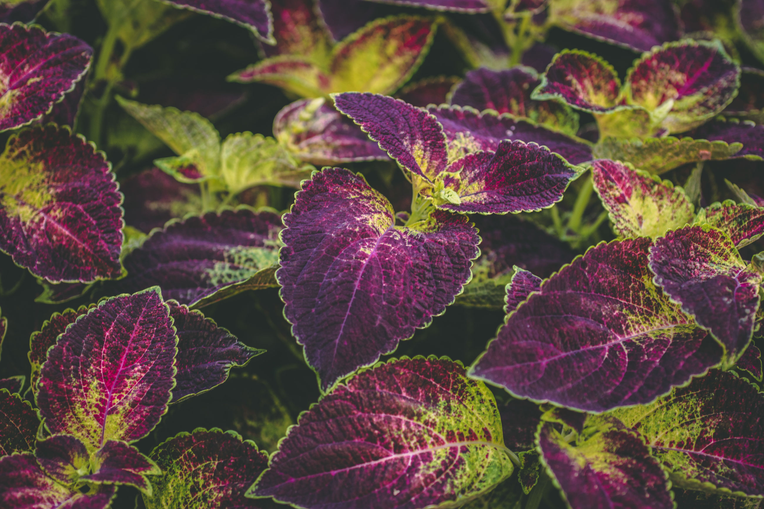 Close-up of purple flowering plant leaves