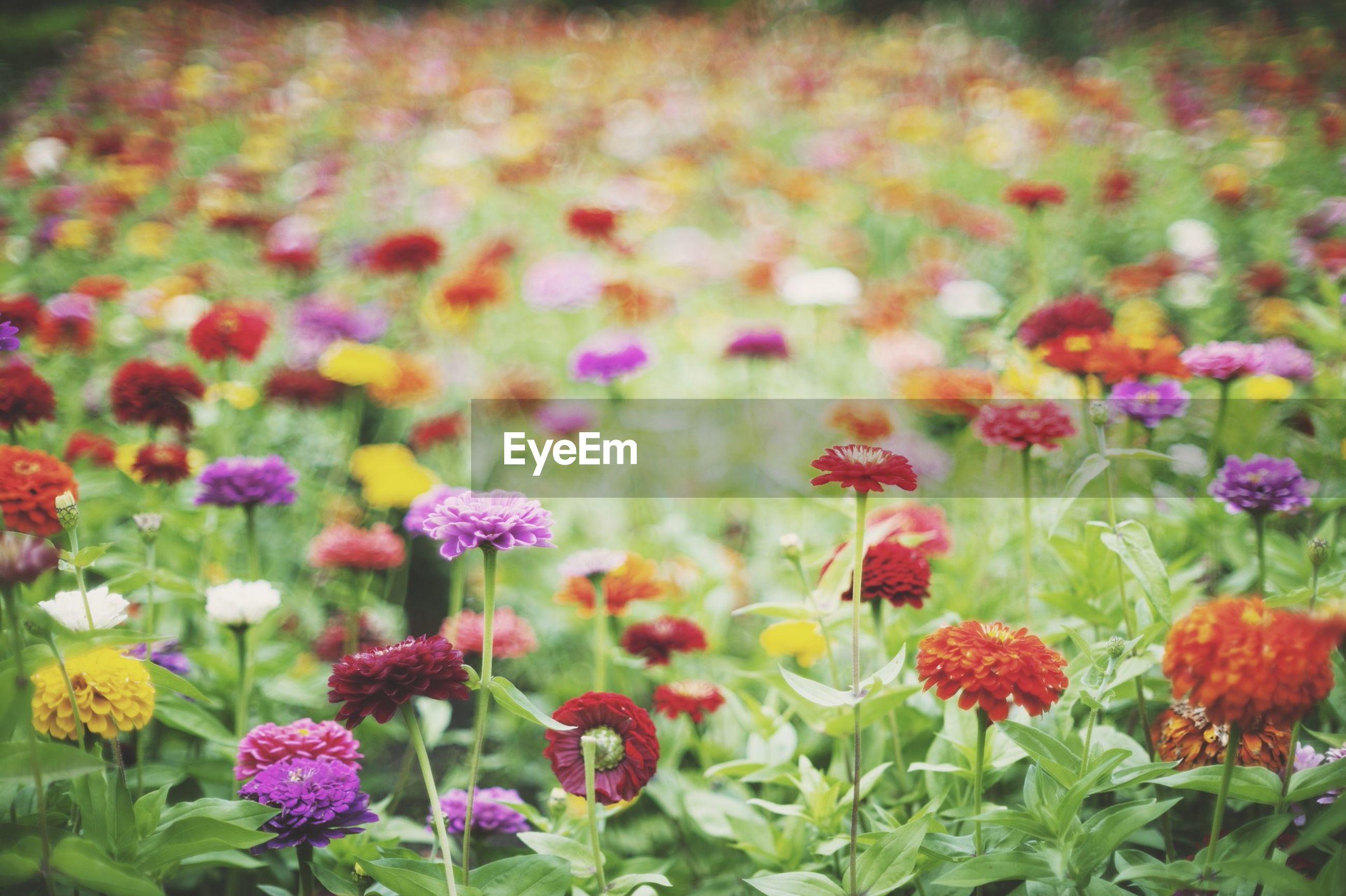 flower, freshness, growth, fragility, beauty in nature, petal, flower head, blooming, plant, field, nature, pink color, abundance, in bloom, tulip, focus on foreground, outdoors, day, close-up, park - man made space