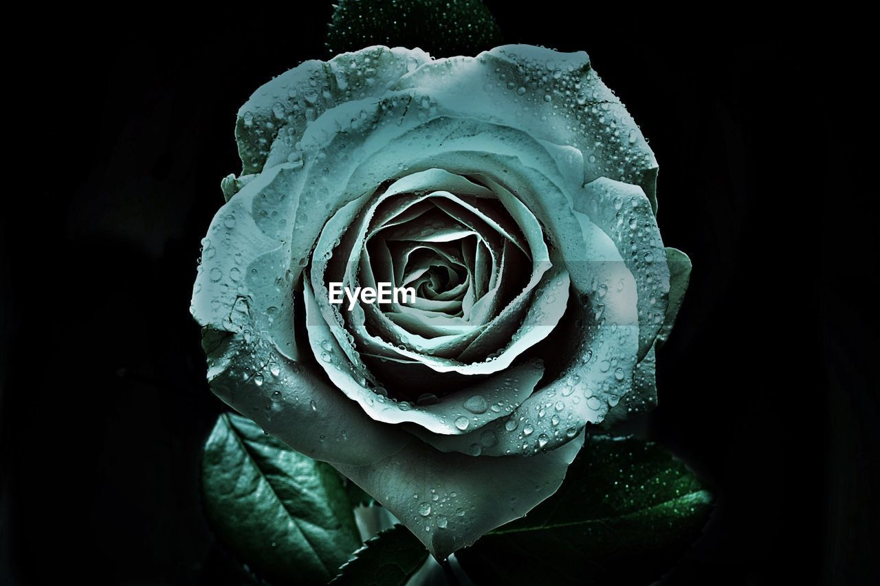 rose - flower, flower, petal, flower head, beauty in nature, fragility, nature, growth, drop, freshness, botany, close-up, water, plant, no people, studio shot, rose petals, blooming, black background, outdoors, day