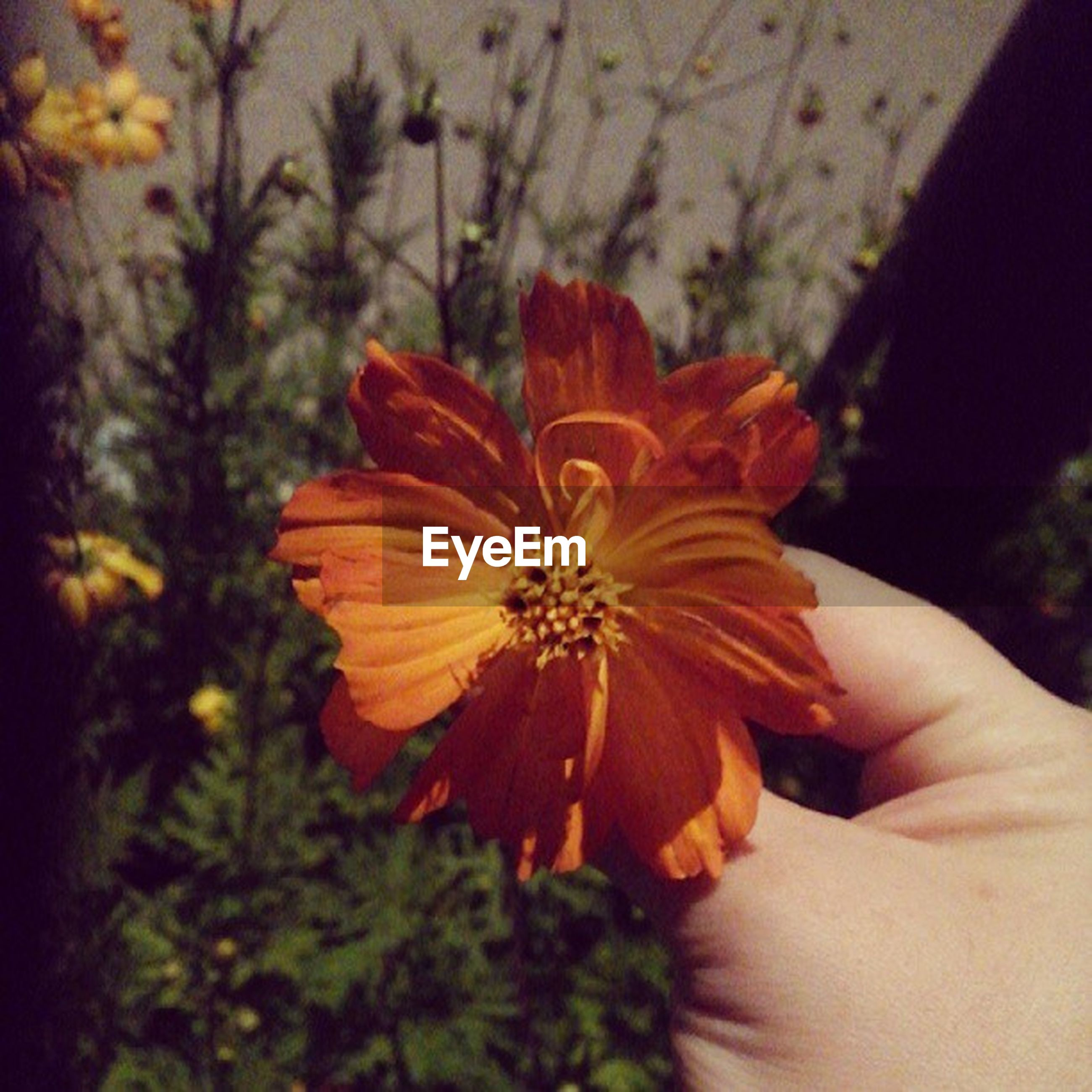person, flower, holding, petal, fragility, human finger, focus on foreground, flower head, freshness, part of, unrecognizable person, cropped, close-up, beauty in nature, orange color, single flower, nature
