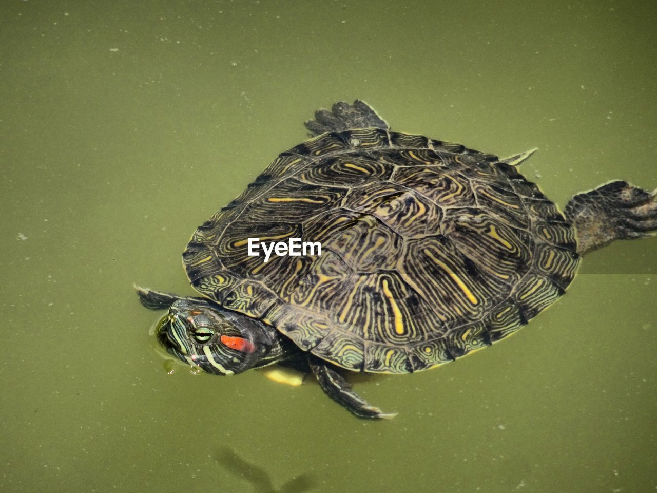 animal, animal wildlife, animal themes, animals in the wild, turtle, one animal, reptile, water, swimming, high angle view, no people, lake, nature, vertebrate, close-up, waterfront, amphibian, marine