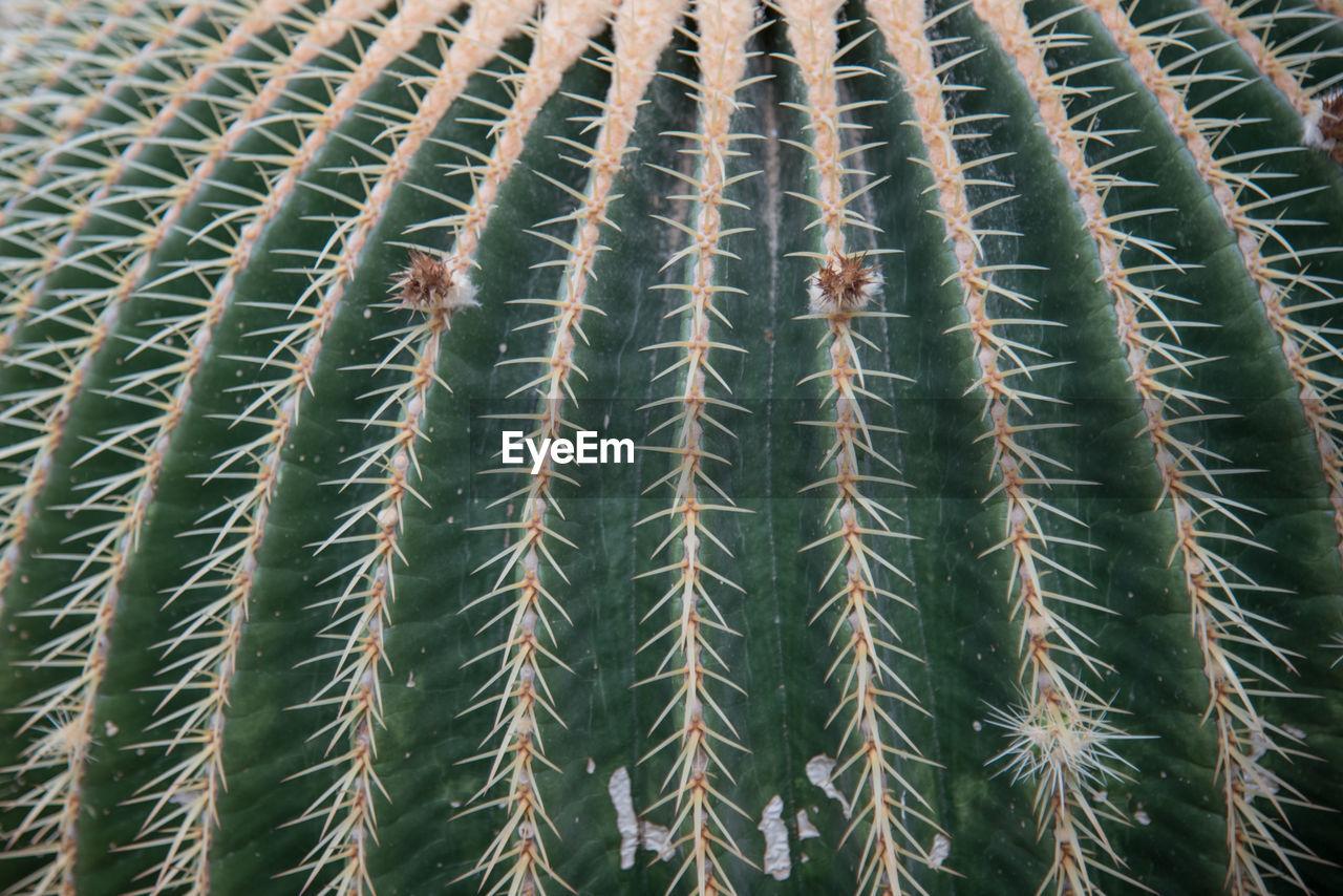Full frame shot of golden barrel cactus