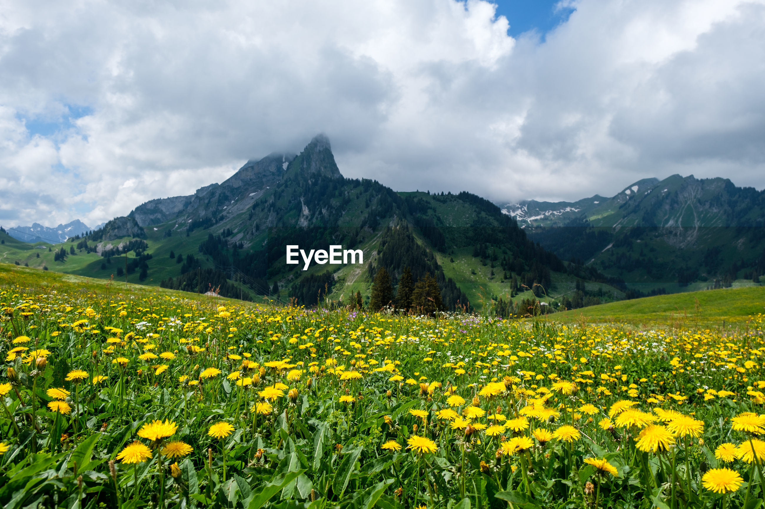 VIEW OF YELLOW FLOWERS GROWING ON FIELD