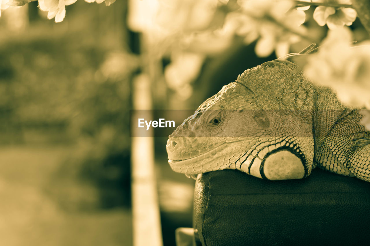 animal themes, focus on foreground, one animal, animal, animals in the wild, vertebrate, reptile, lizard, animal wildlife, close-up, no people, day, nature, animal body part, animal head, outdoors, looking, looking away, sunlight, side view, iguana, animal scale