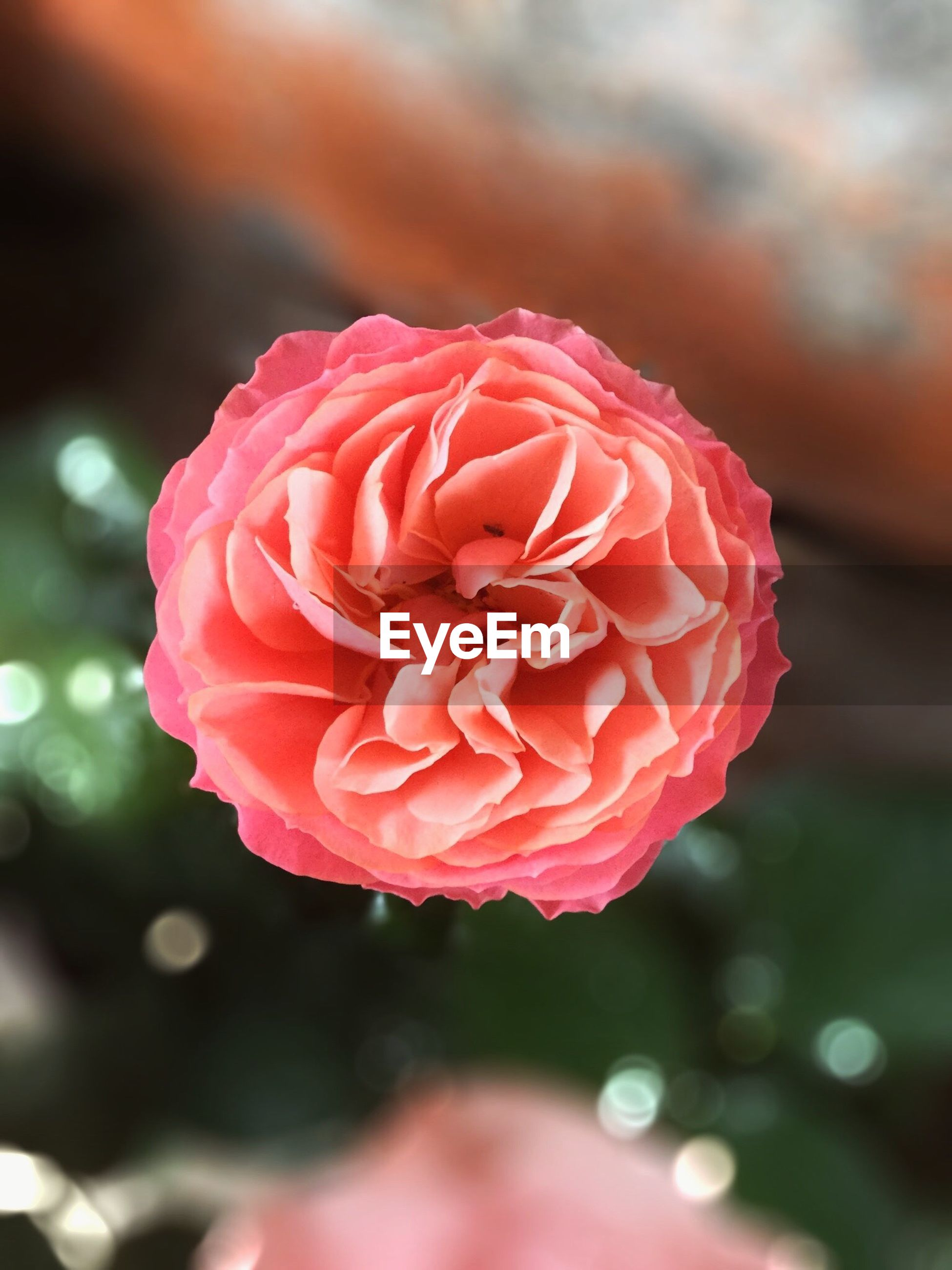 flower, petal, fragility, freshness, flower head, close-up, focus on foreground, beauty in nature, growth, single flower, rose - flower, nature, pink color, blooming, red, selective focus, plant, in bloom, blossom, outdoors