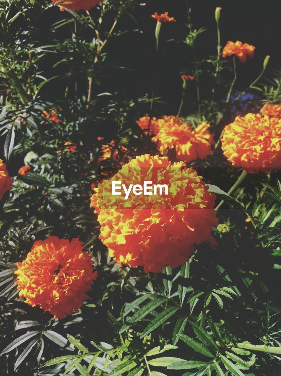 flower, growth, beauty in nature, nature, plant, freshness, orange color, petal, fragility, flower head, blooming, no people, outdoors, marigold, day, close-up