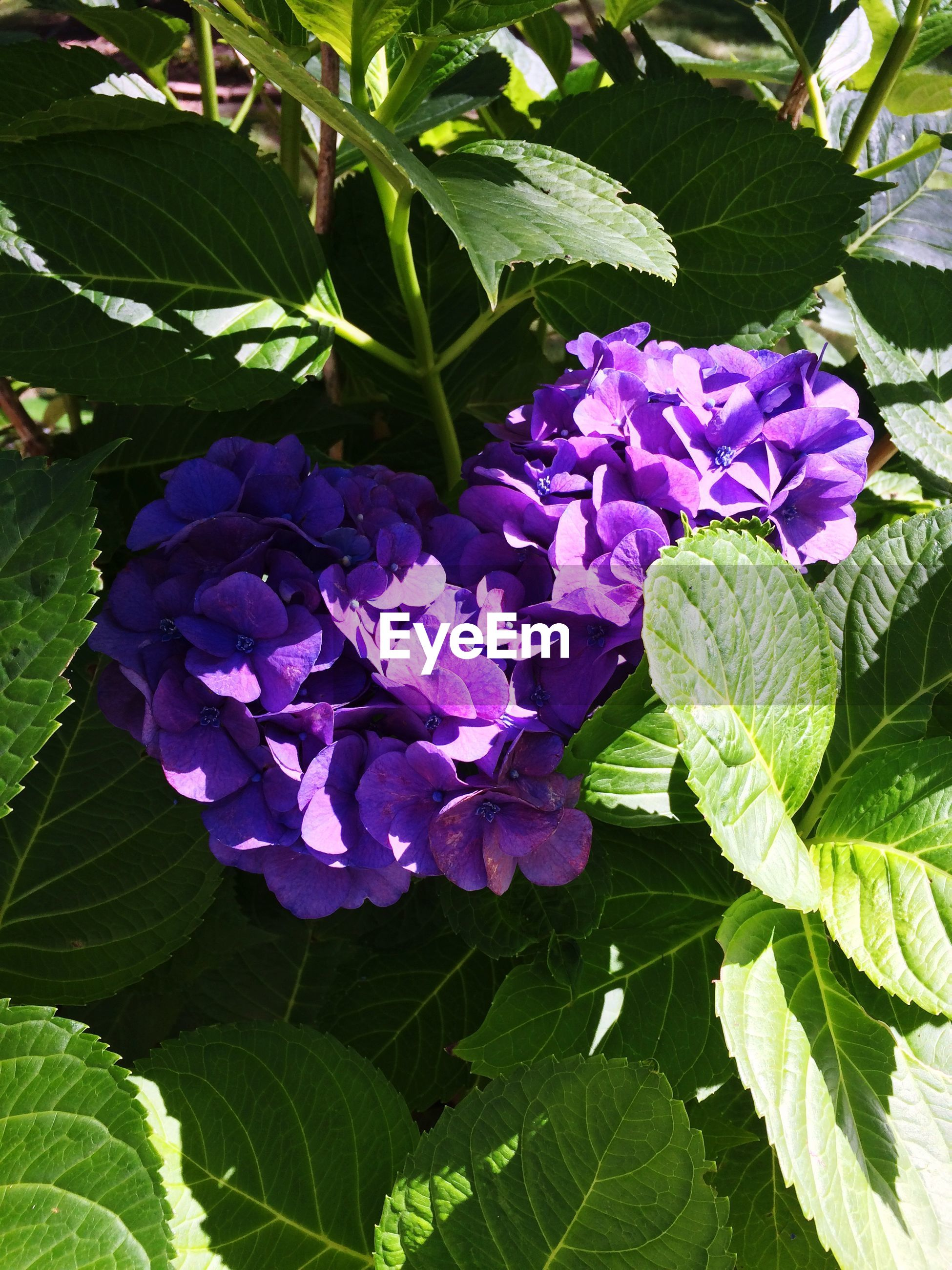 High angle view of purple hydrangea blooming outdoors