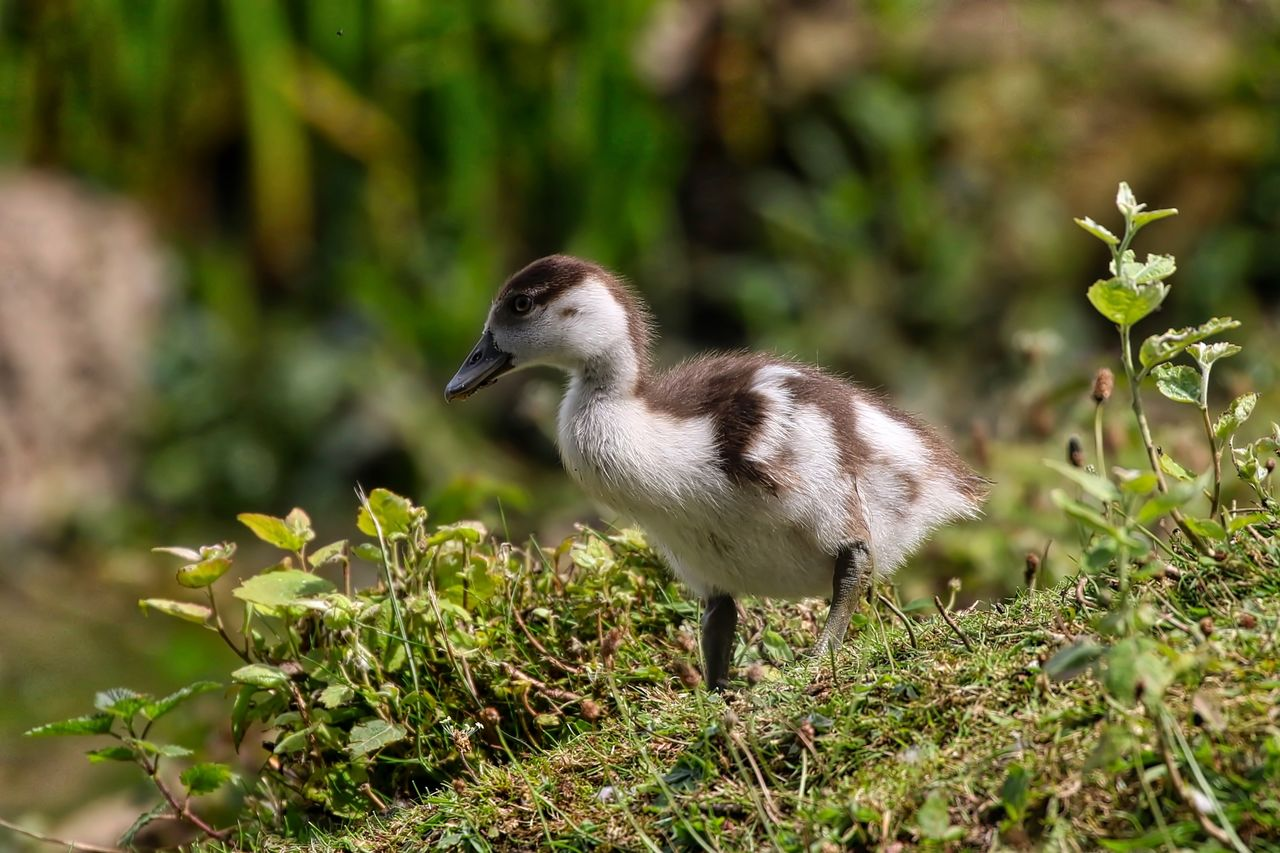 vertebrate, animal themes, animal wildlife, animal, animals in the wild, bird, one animal, plant, young bird, young animal, nature, side view, gosling, no people, day, land, selective focus, goose, field, water bird