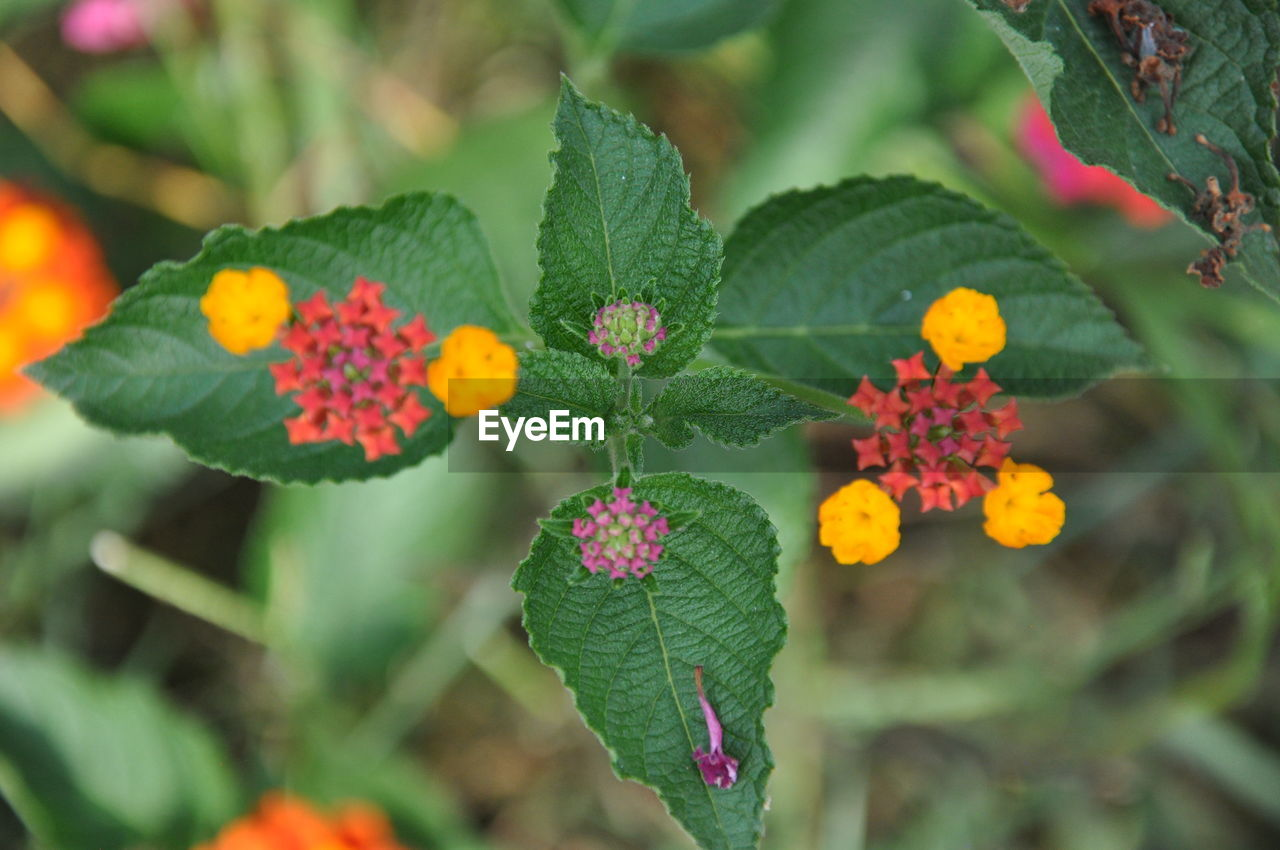 flowering plant, plant, plant part, beauty in nature, leaf, growth, flower, freshness, green color, vulnerability, close-up, fragility, day, lantana, petal, nature, flower head, focus on foreground, inflorescence, no people, outdoors