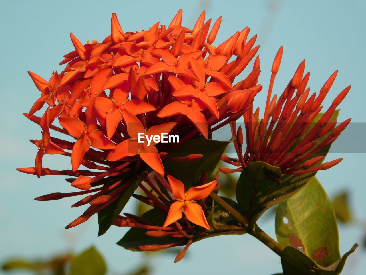 flower, growth, beauty in nature, petal, fragility, nature, freshness, red, flower head, ixora, plant, blooming, day, close-up, no people, outdoors, sky