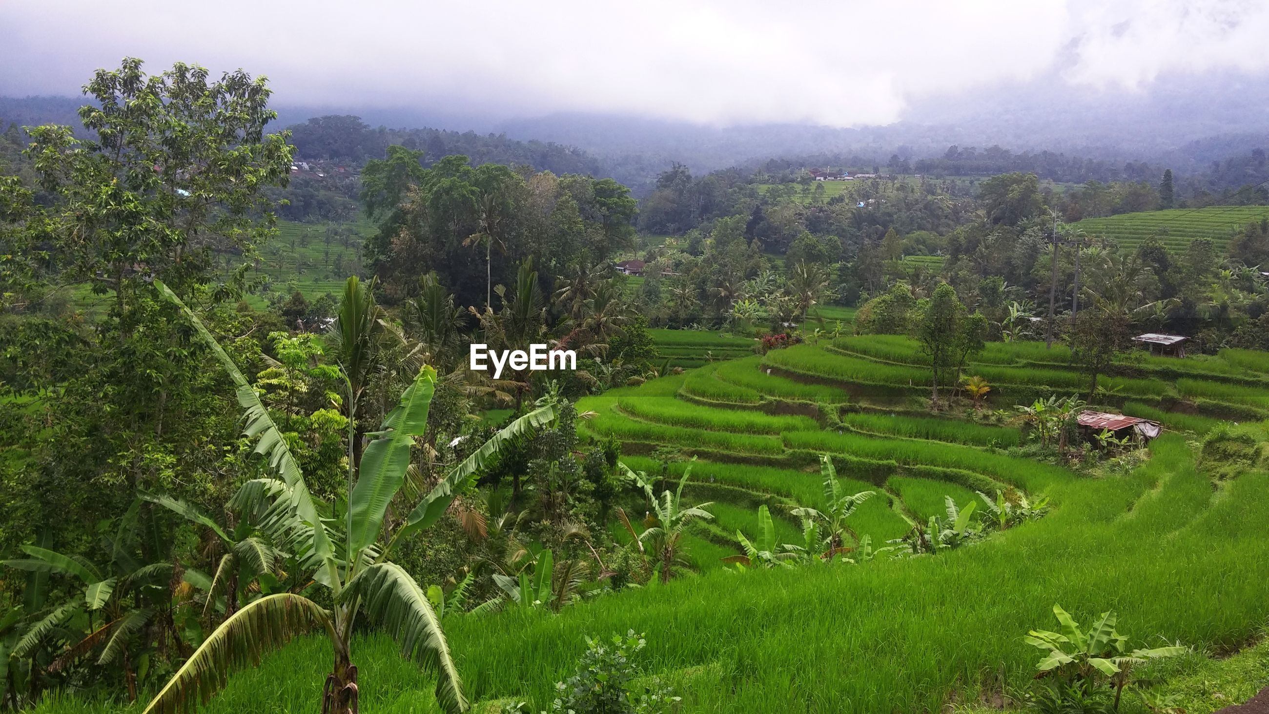 SCENIC VIEW OF RICE FIELD AGAINST TREES