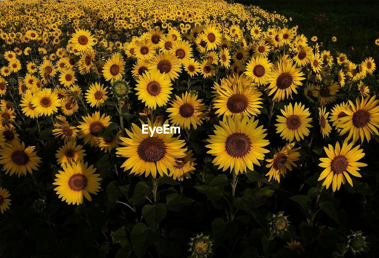 View of yellow sunflowers in field