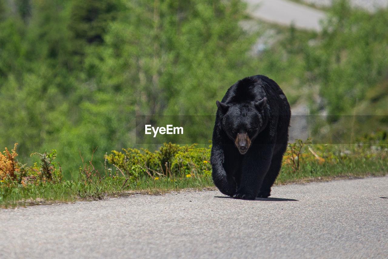 Portrait of black bear on road