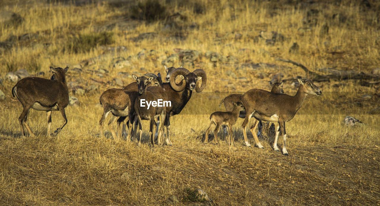 Mouflons On Field At Sierra De Andujar Natural Park