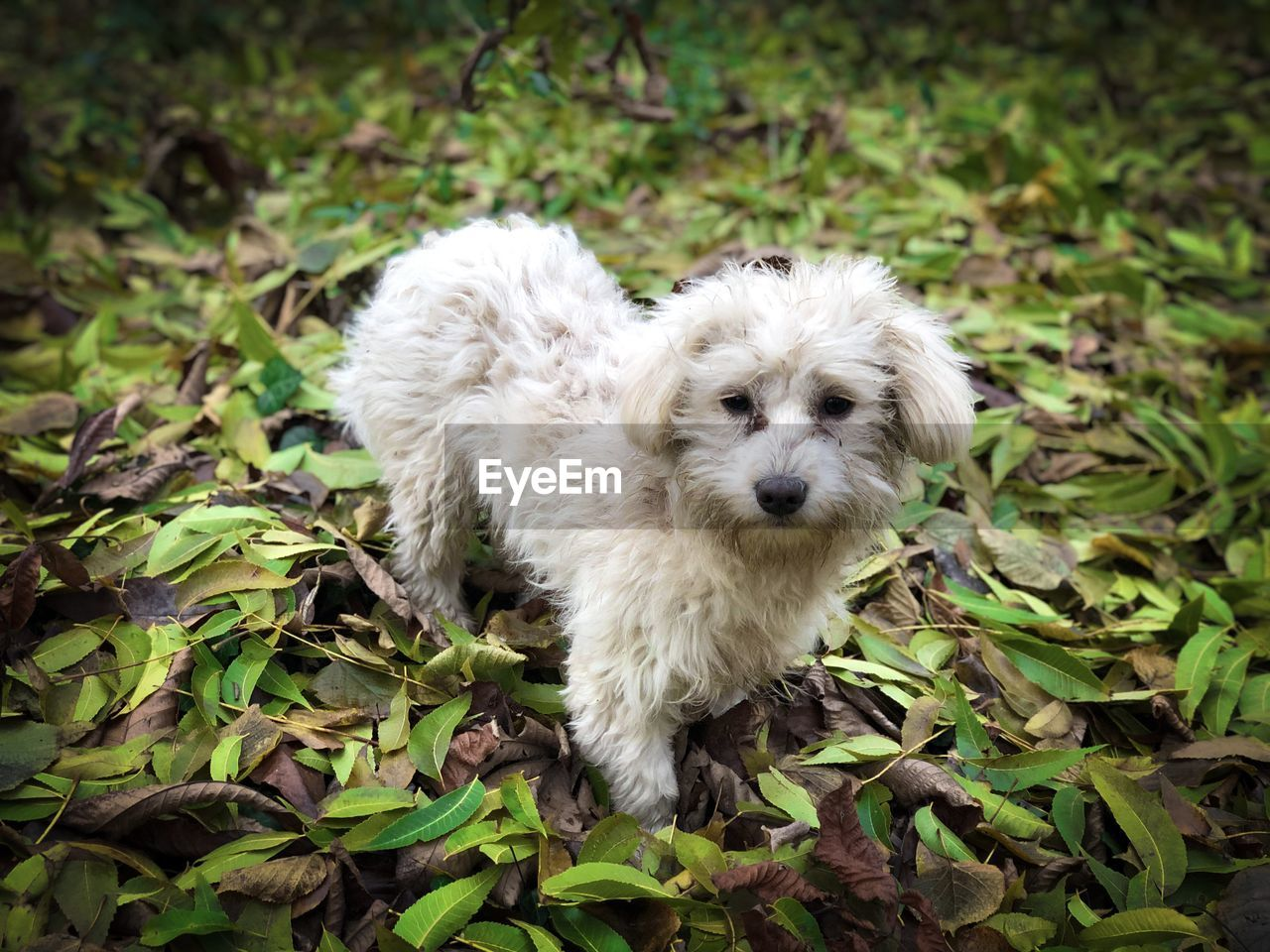 Maltese dog in colorful autumn leaves fallen on the ground
