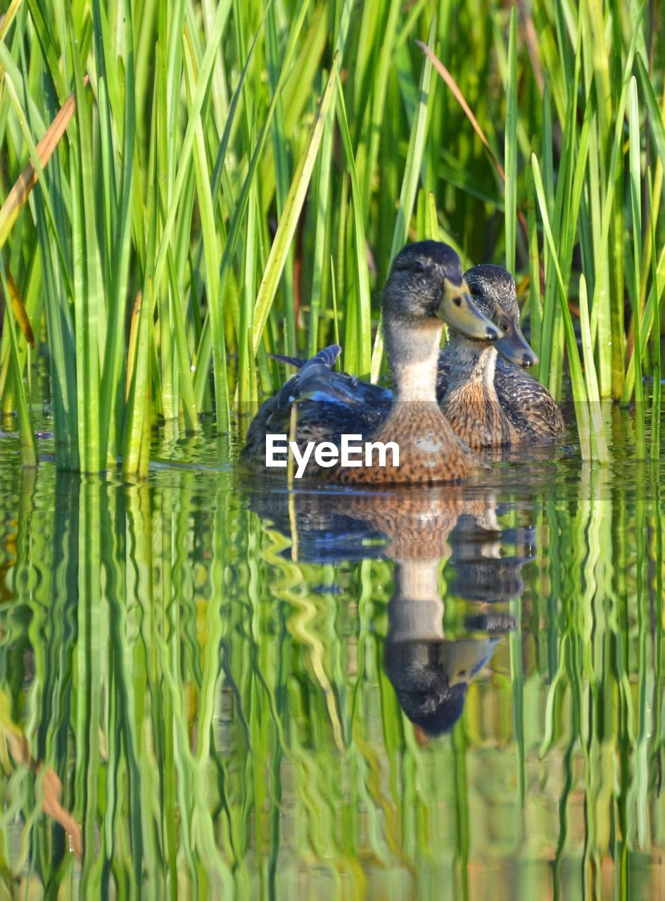 CLOSE-UP OF DUCK SWIMMING ON GRASS