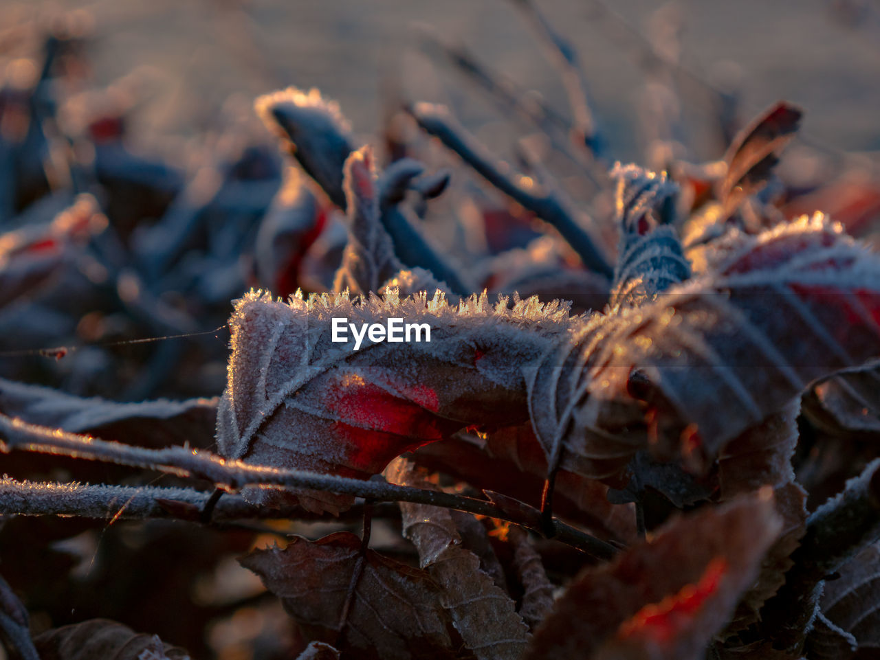 leaf, plant part, close-up, selective focus, nature, no people, day, winter, leaves, cold temperature, autumn, plant, dry, outdoors, change, land, focus on foreground, beauty in nature, tree