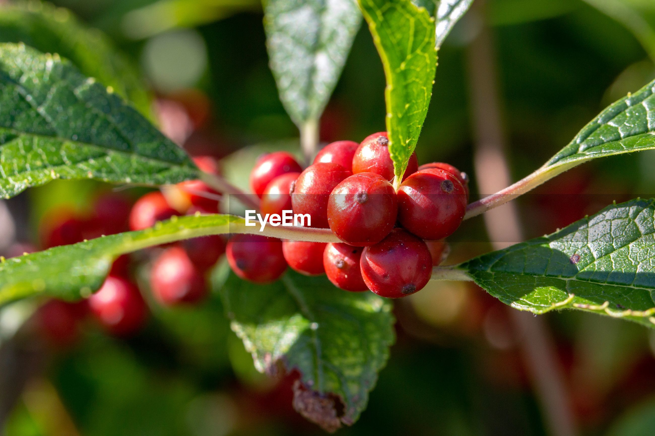 plant part, leaf, fruit, red, food and drink, food, healthy eating, growth, freshness, berry fruit, close-up, plant, focus on foreground, nature, green color, day, beauty in nature, wellbeing, no people, selective focus, ripe, outdoors