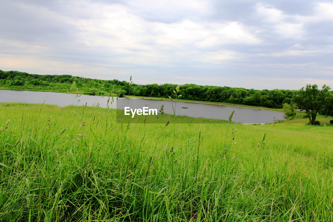 grass, nature, tranquil scene, sky, scenics, tranquility, green color, field, beauty in nature, water, cloud - sky, day, growth, outdoors, no people, landscape, lake, agriculture, rural scene, tree, animal themes