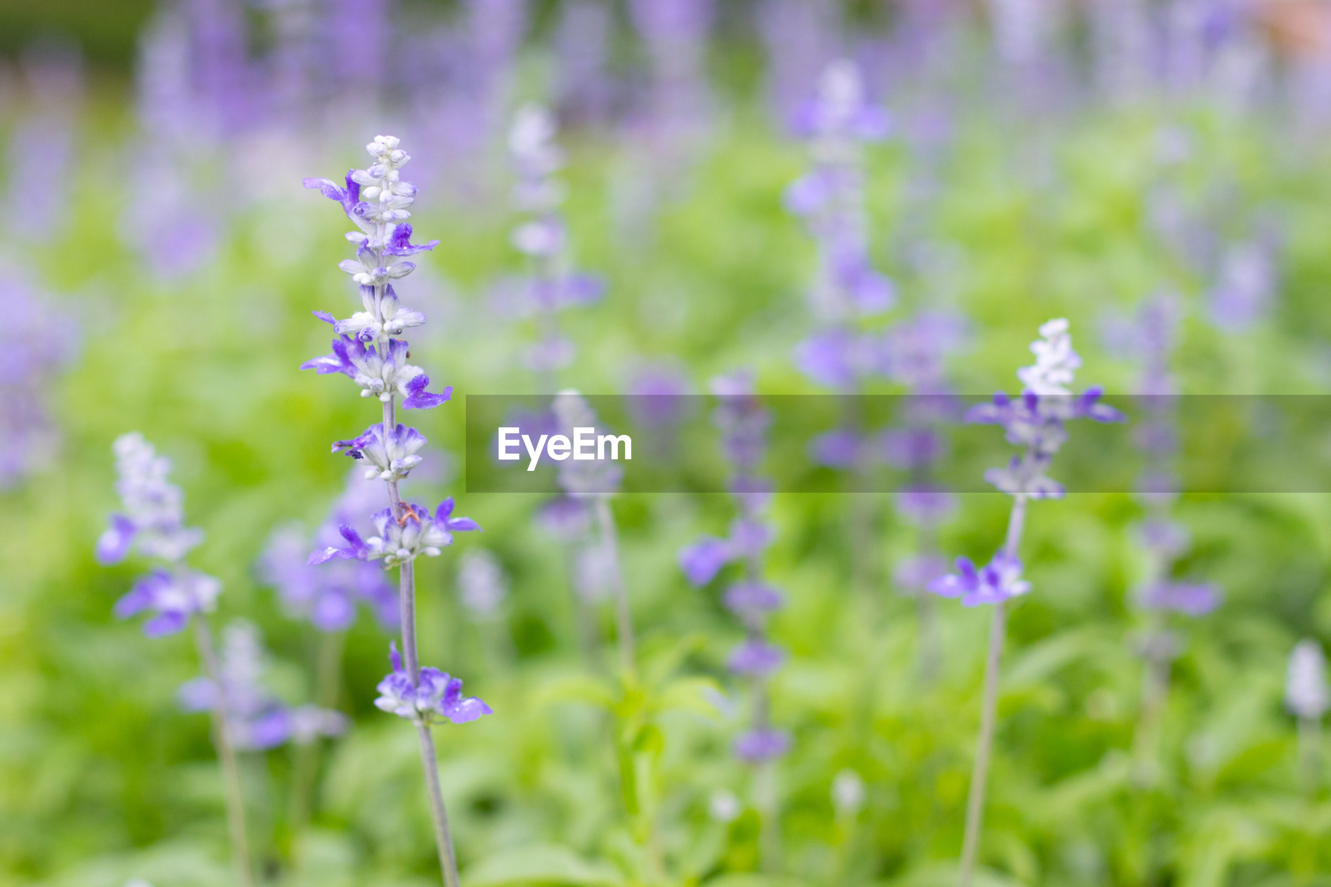 CLOSE-UP OF PURPLE FLOWER BLOOMING ON FIELD
