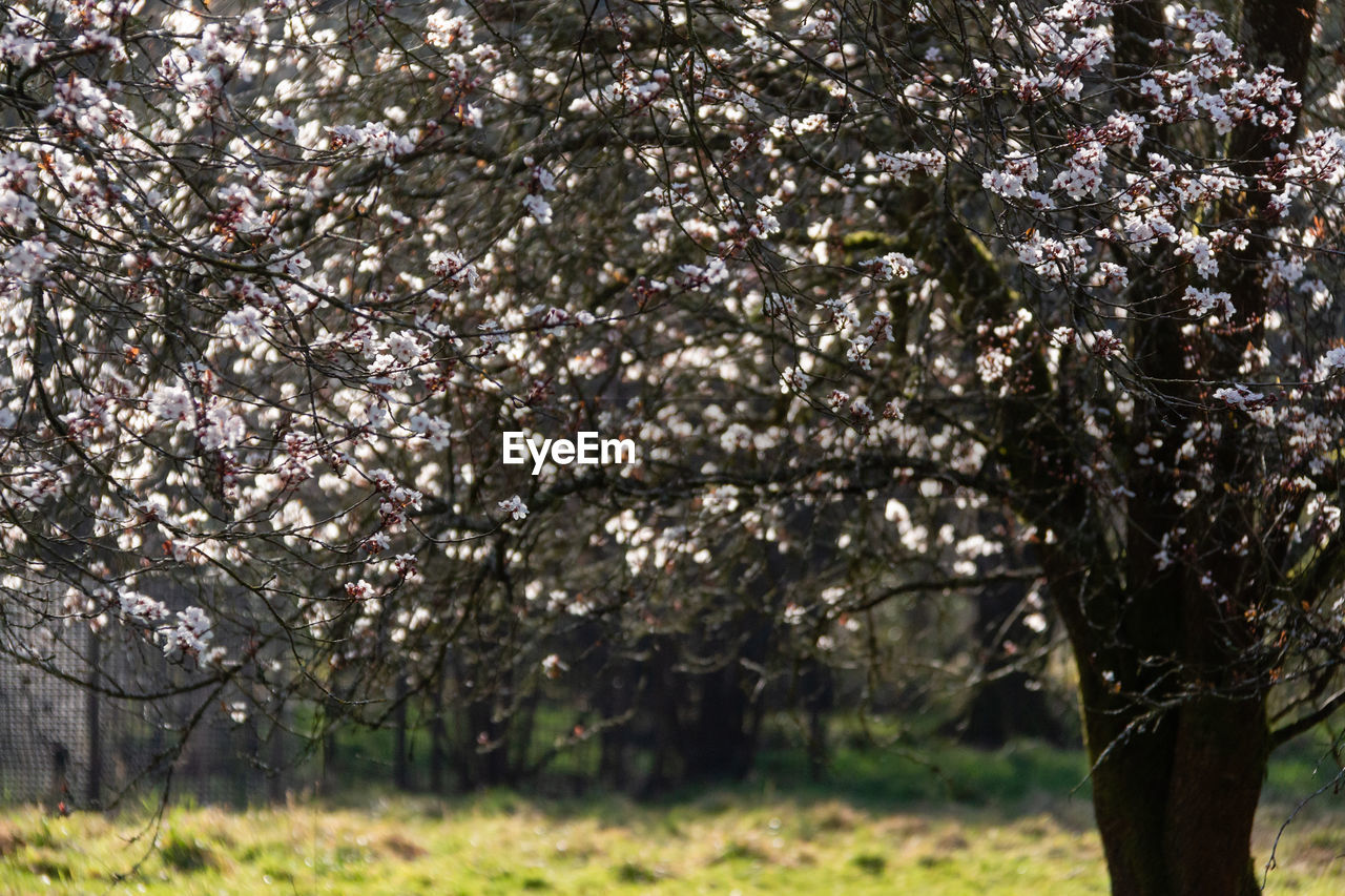 plant, tree, growth, beauty in nature, flowering plant, blossom, flower, springtime, fragility, nature, branch, freshness, day, park, vulnerability, tranquility, park - man made space, cherry blossom, land, outdoors, no people, cherry tree