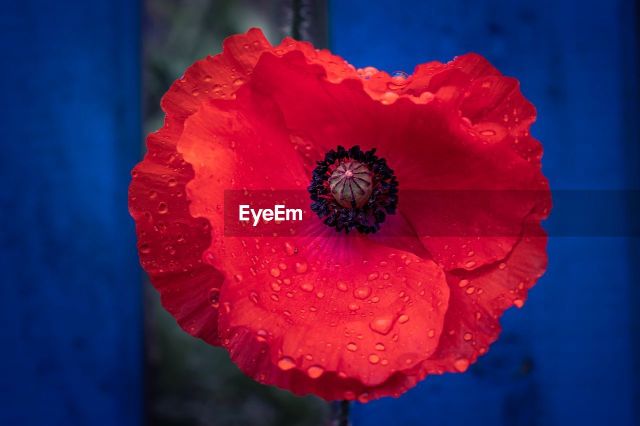 flower, flowering plant, flower head, vulnerability, petal, fragility, inflorescence, beauty in nature, close-up, growth, freshness, focus on foreground, red, plant, poppy, pollen, nature, water, no people