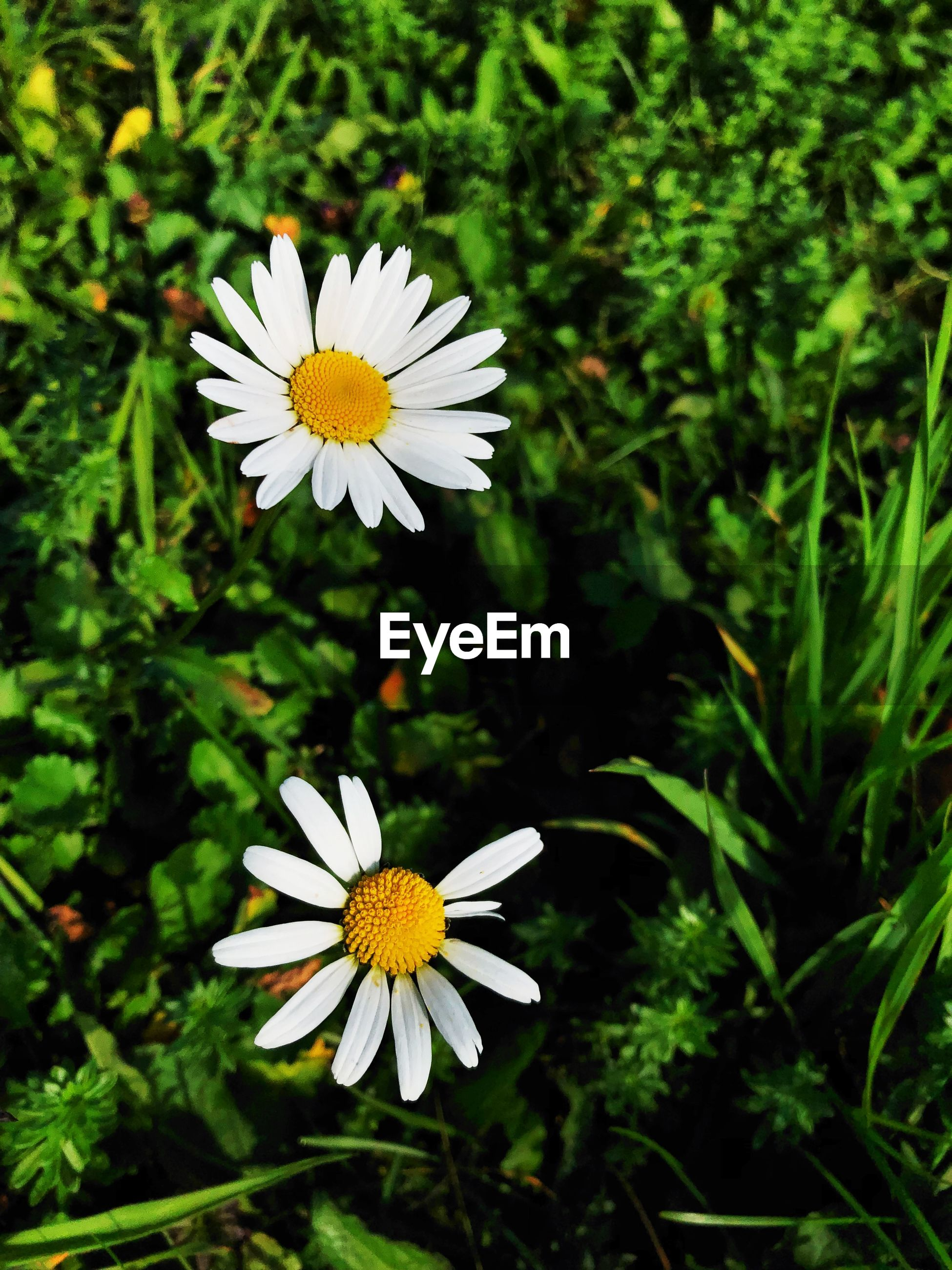 CLOSE-UP OF WHITE DAISY FLOWER AGAINST PLANTS